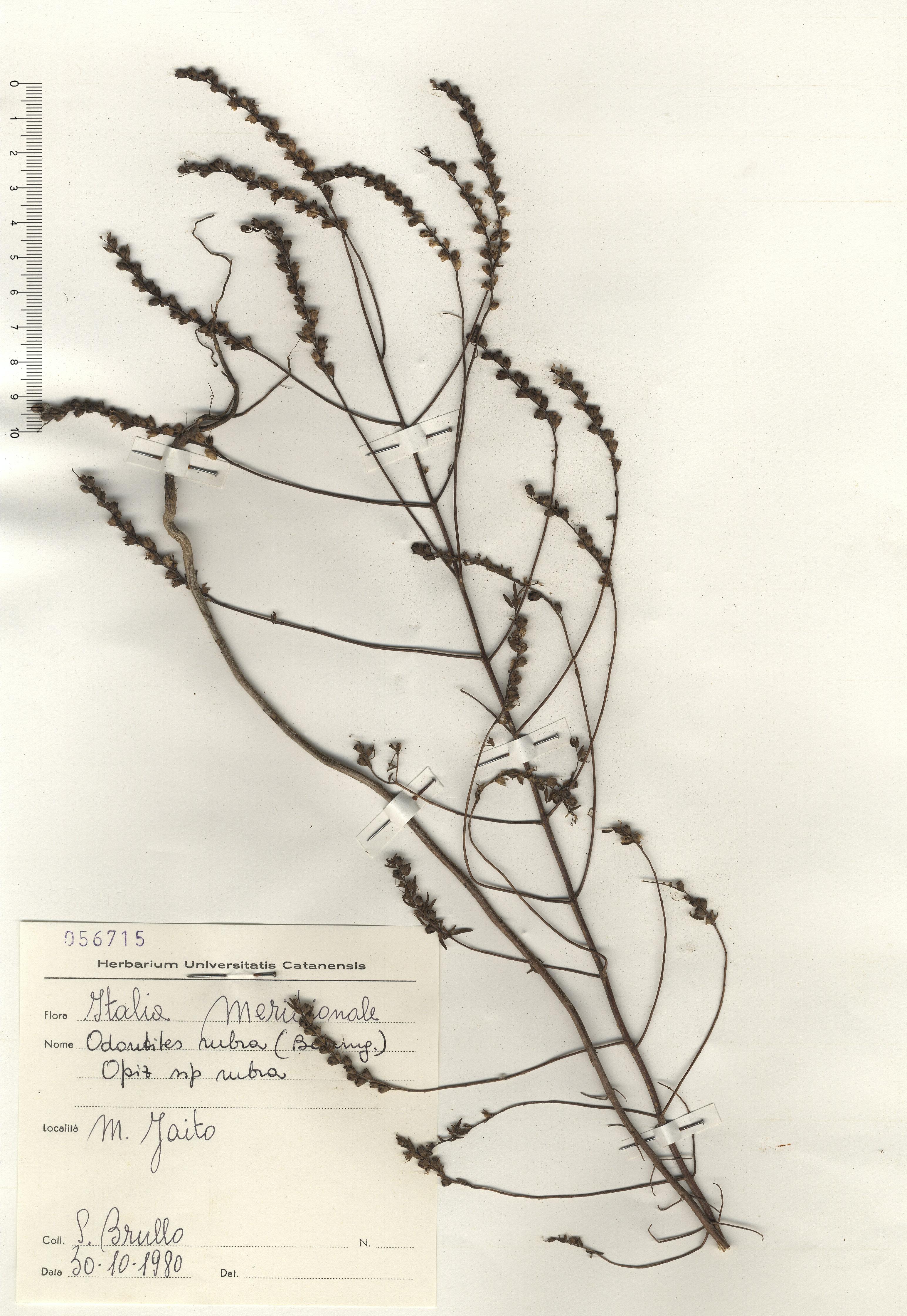 © Hortus  Botanicus Catinensis - Herb. sheet 056715<br>