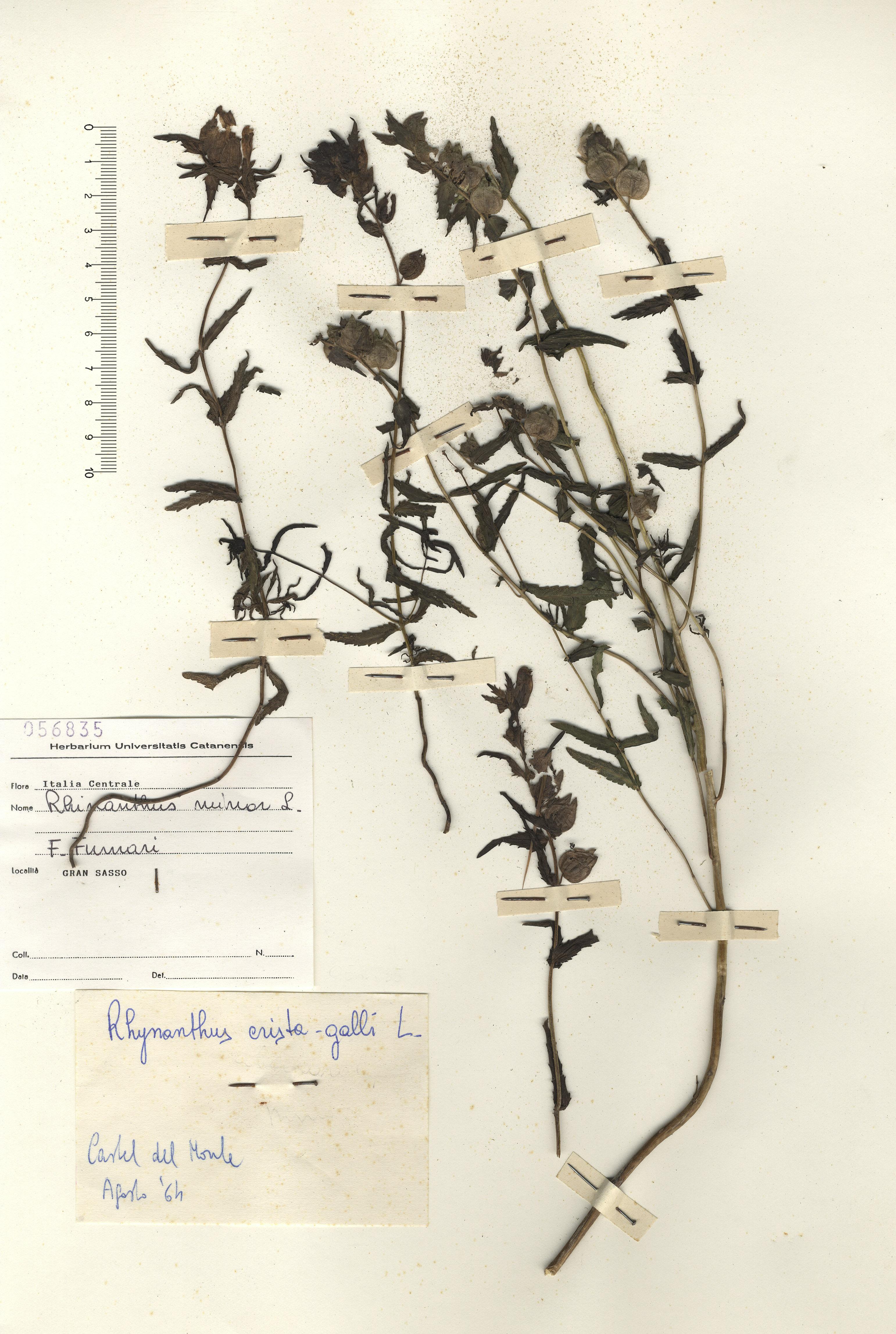 © Hortus  Botanicus Catinensis - Herb. sheet 056835<br>