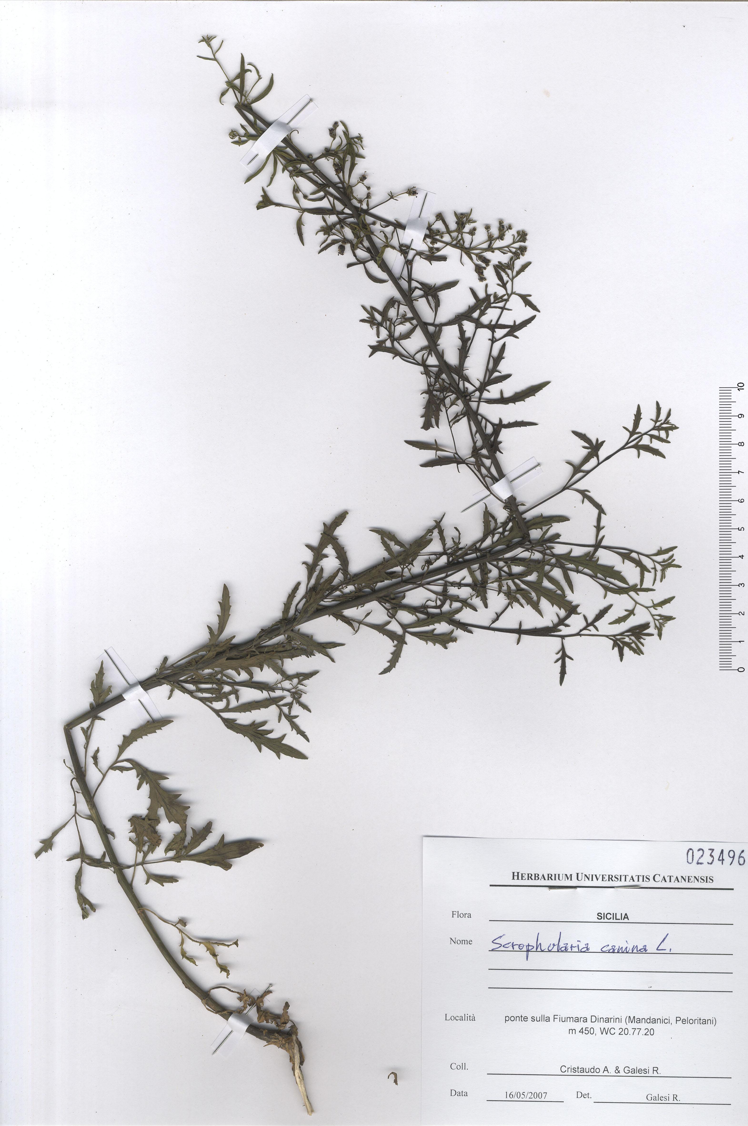 © Hortus  Botanicus Catinensis - Herb. sheet 023496<br>