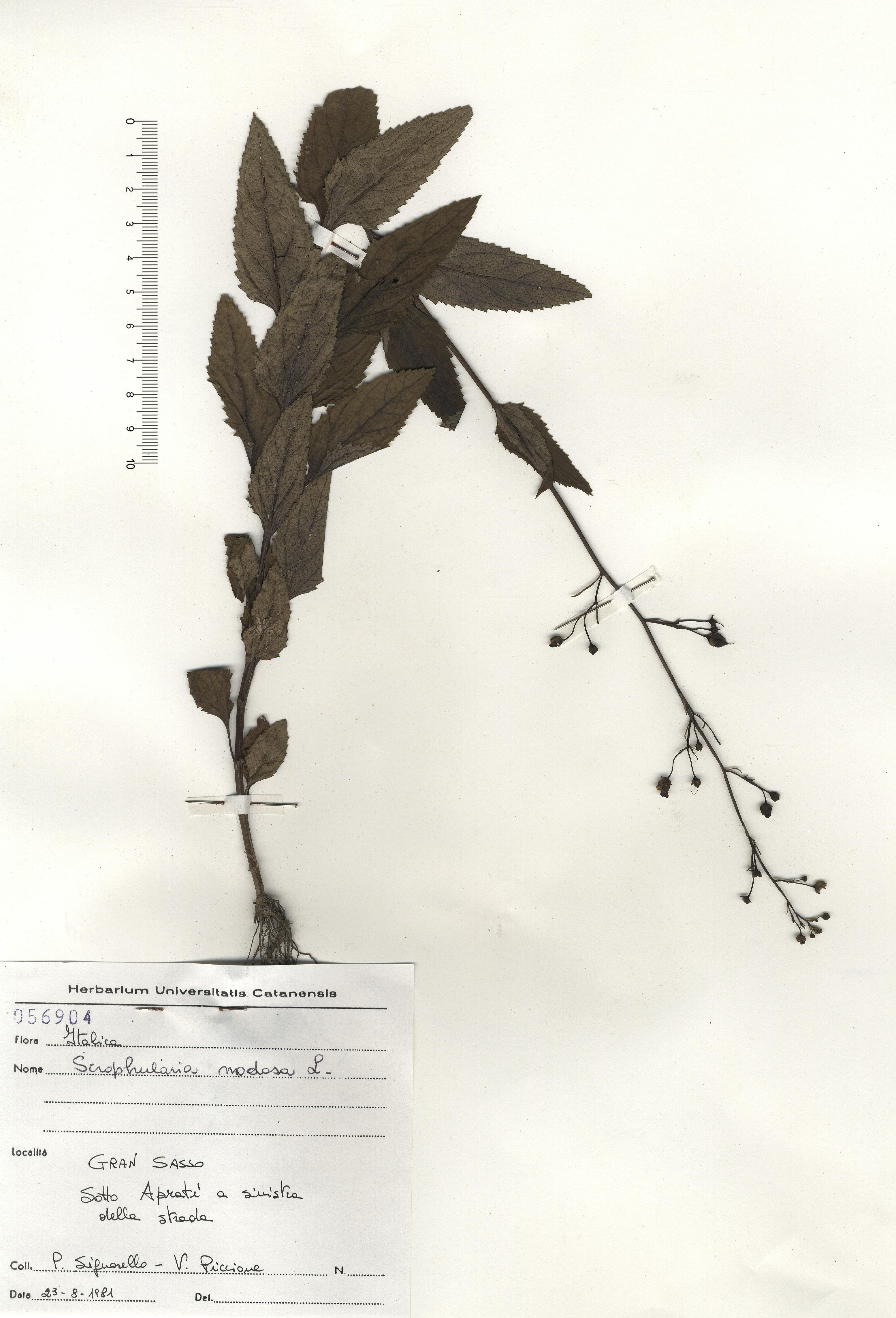 © Hortus  Botanicus Catinensis - Herb. sheet 056904<br>