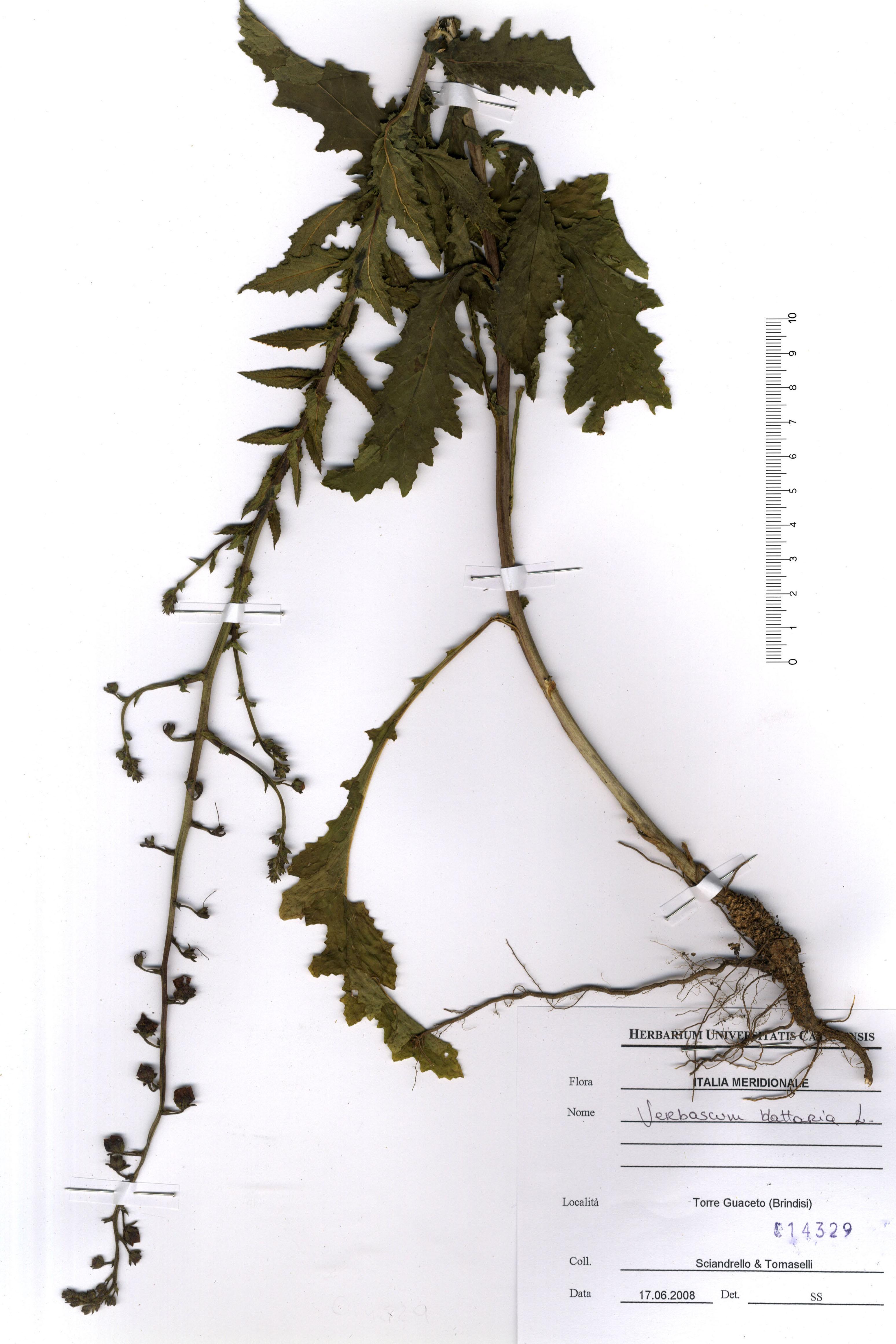 © Hortus  Botanicus Catinensis - Herb. sheet 014392<br>