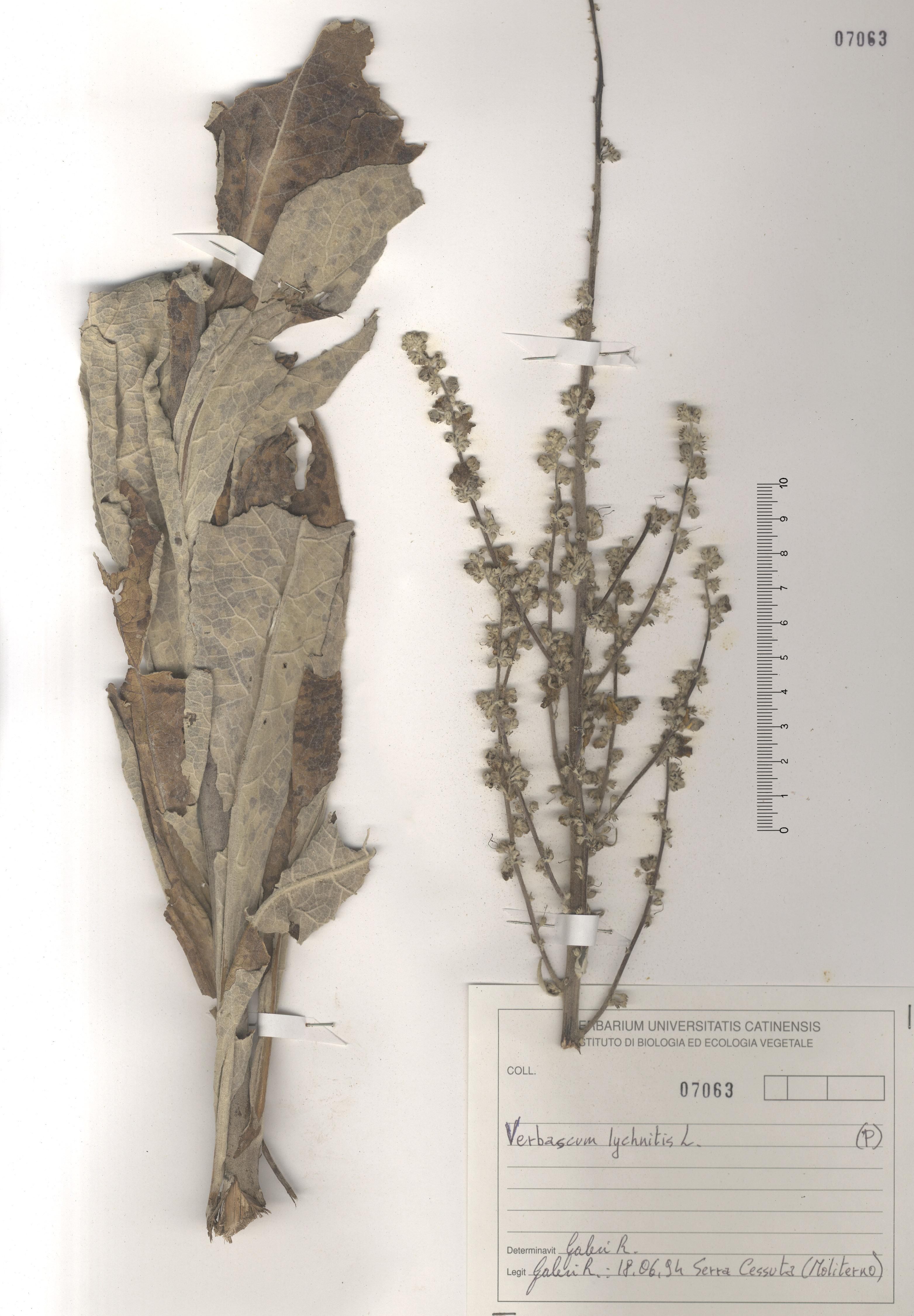 © Hortus  Botanicus Catinensis - Herb. sheet 107063<br>