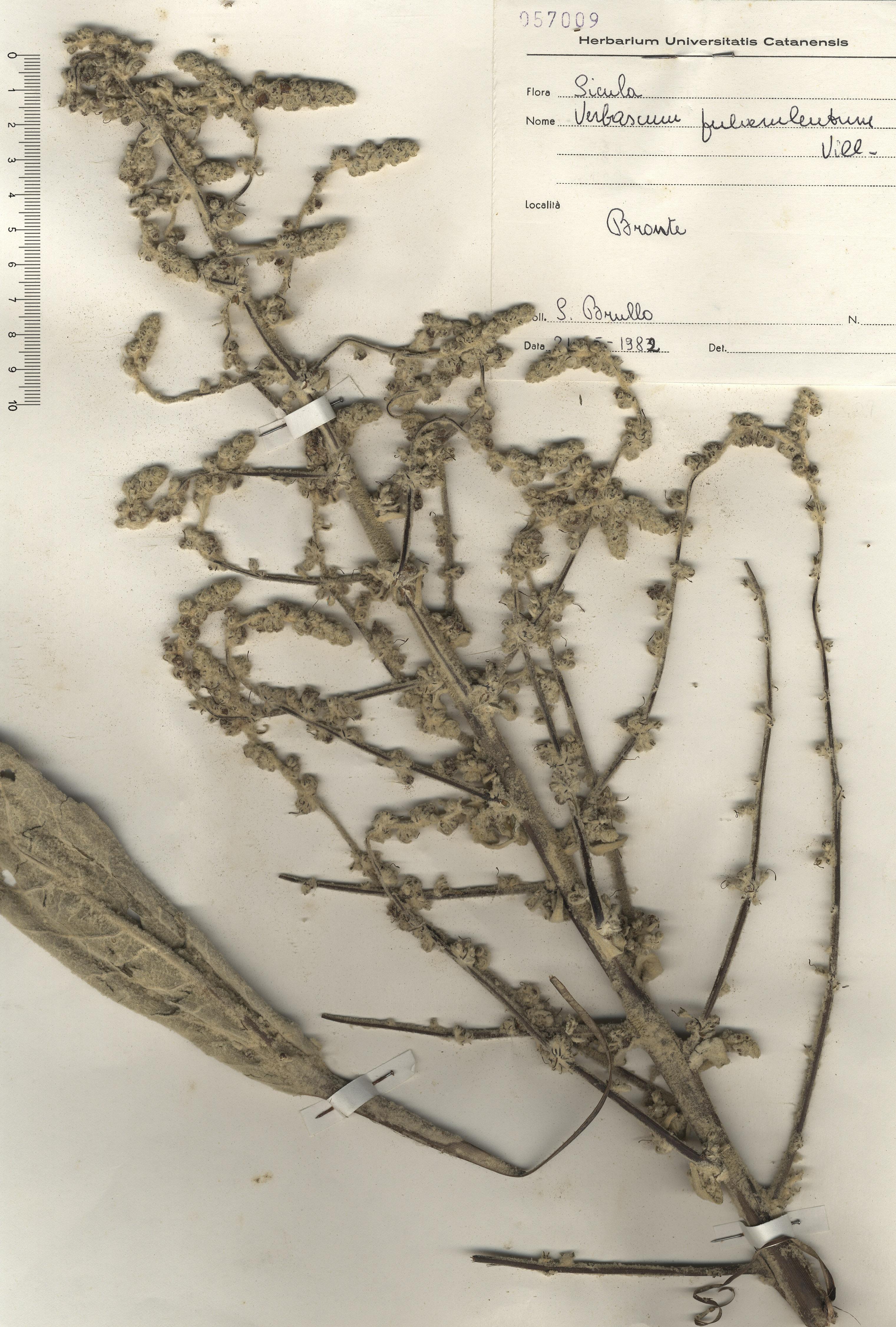 © Hortus  Botanicus Catinensis - Herb. sheet 057009<br>