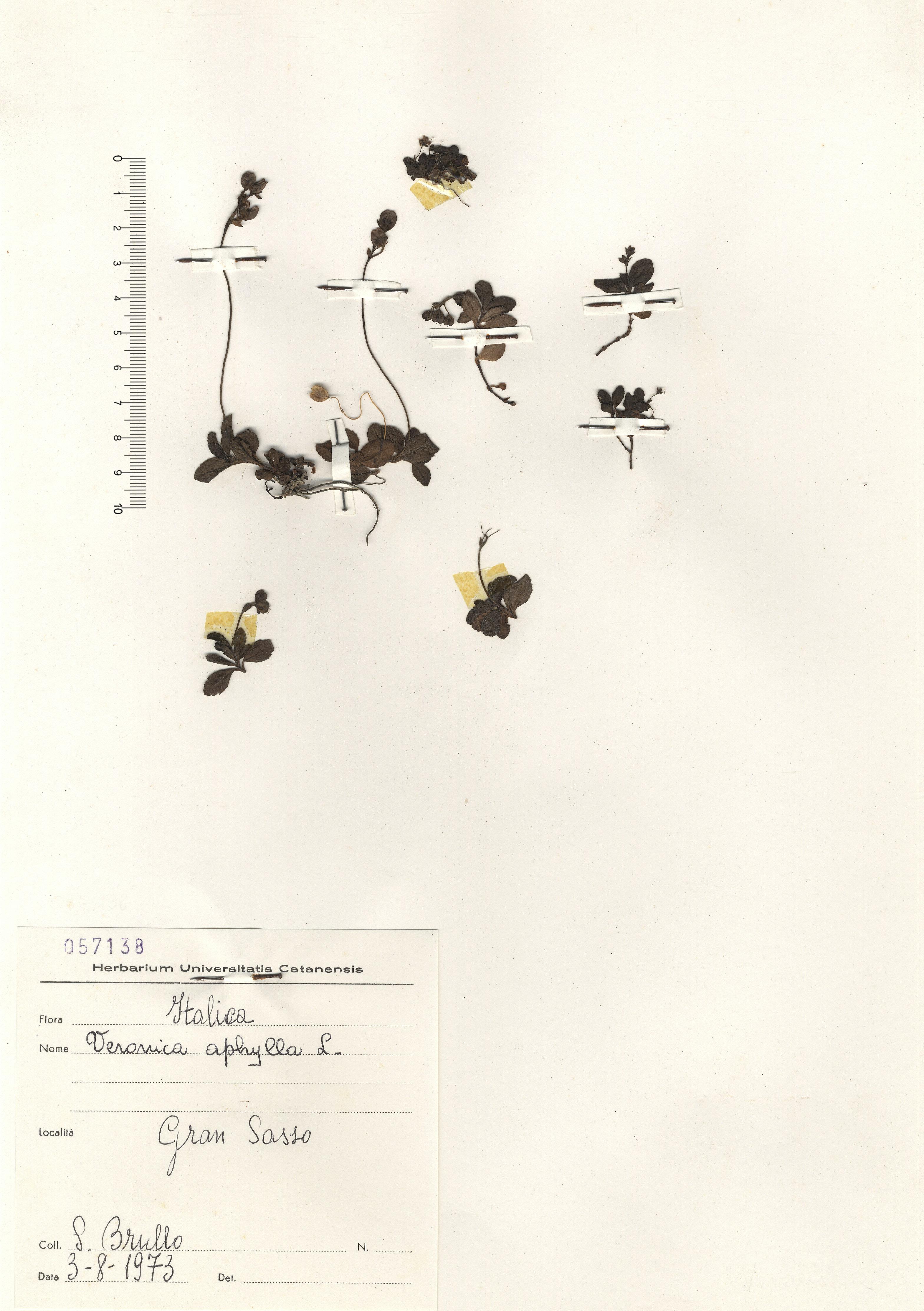 © Hortus  Botanicus Catinensis - Herb. sheet 057138<br>