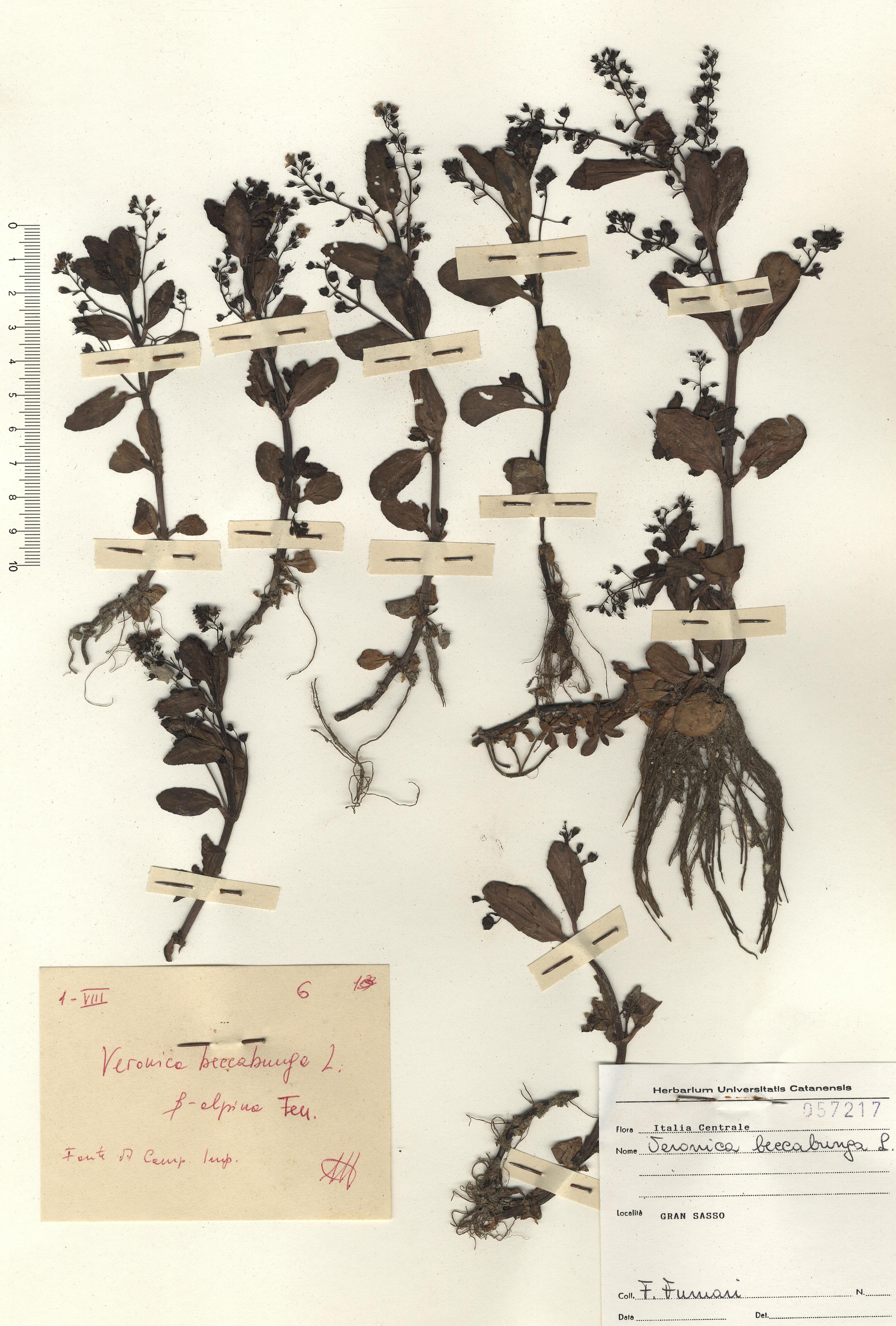 © Hortus  Botanicus Catinensis - Herb. sheet 057217<br>