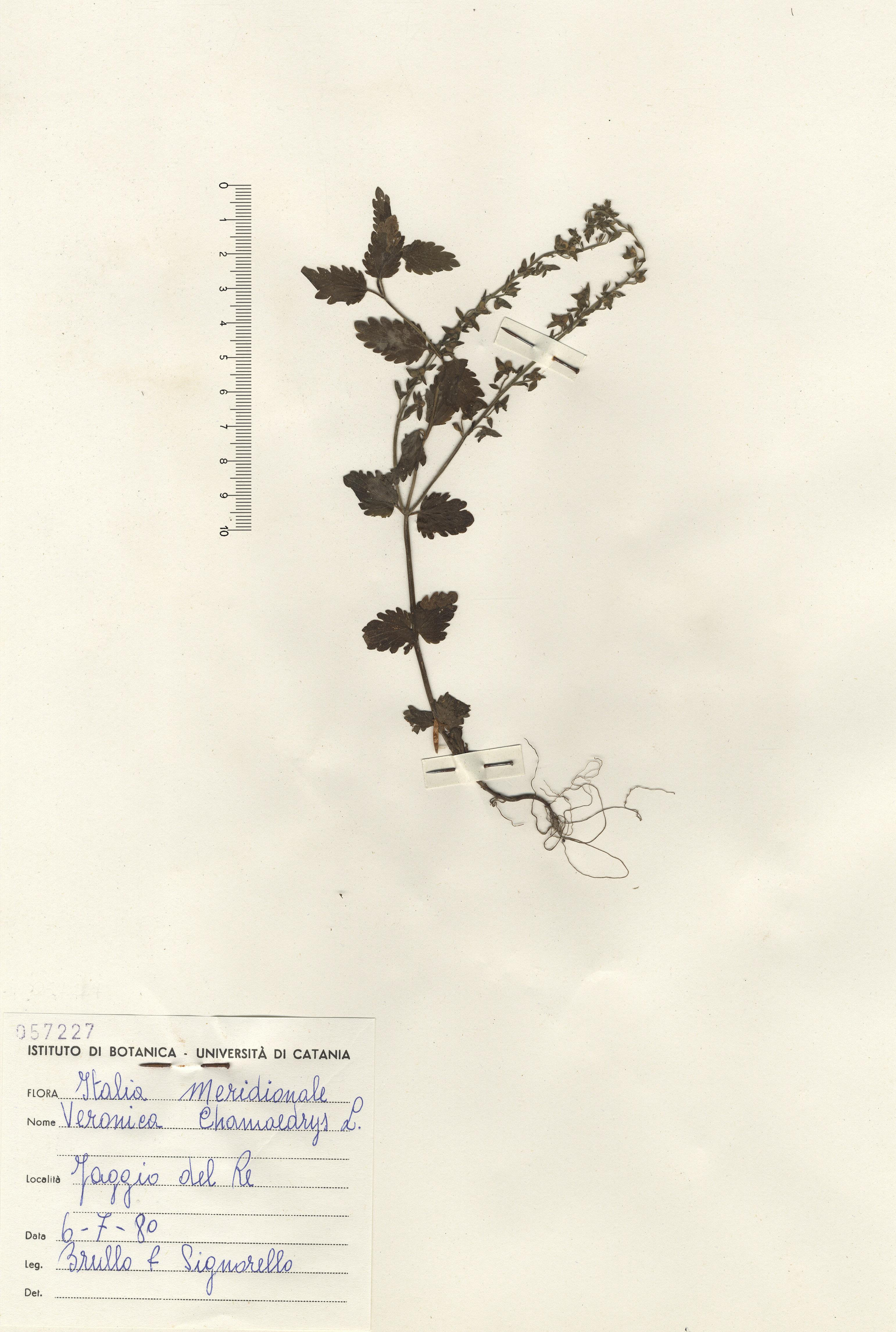 © Hortus  Botanicus Catinensis - Herb. sheet 057227<br>