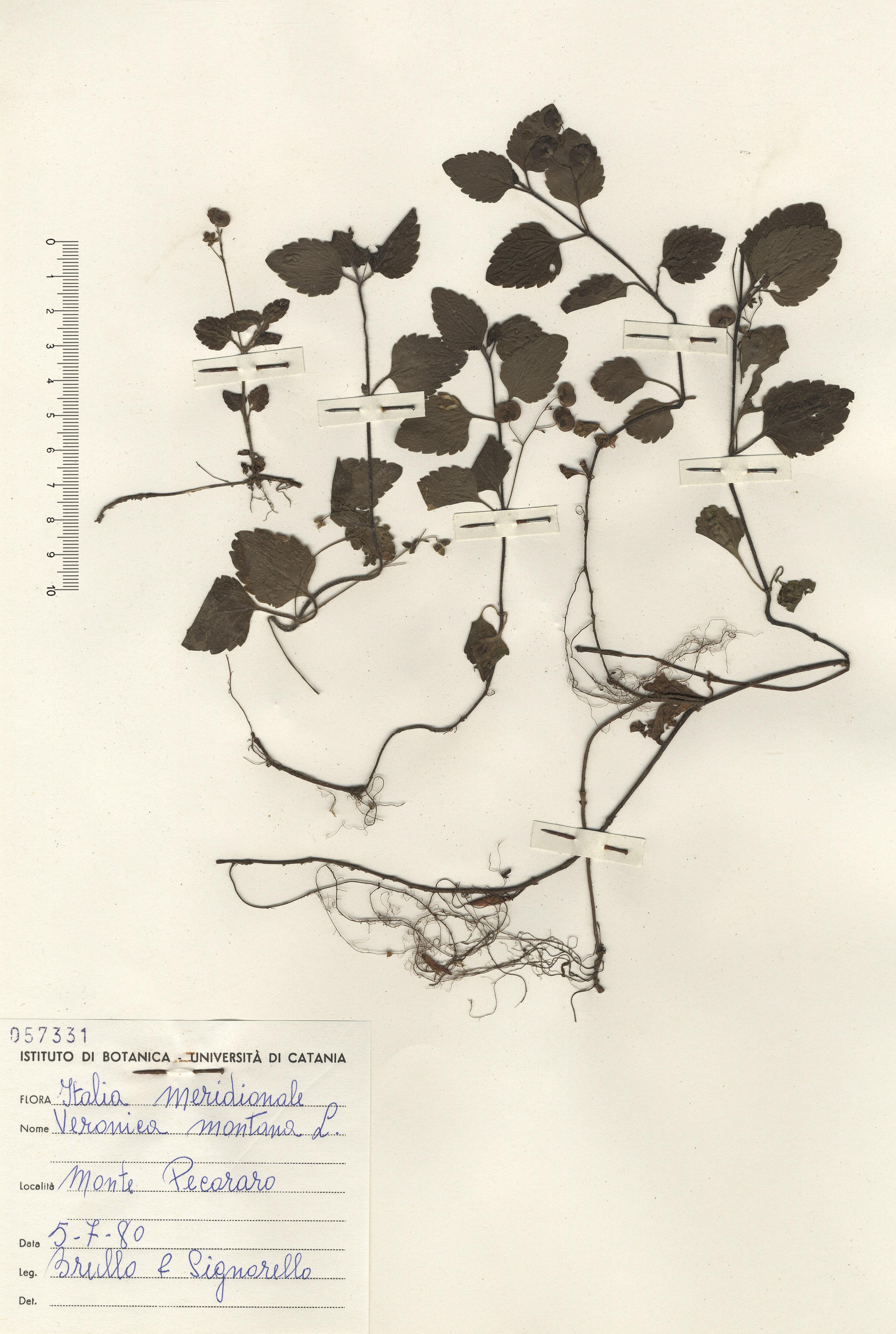 © Hortus  Botanicus Catinensis - Herb. sheet 057331<br>