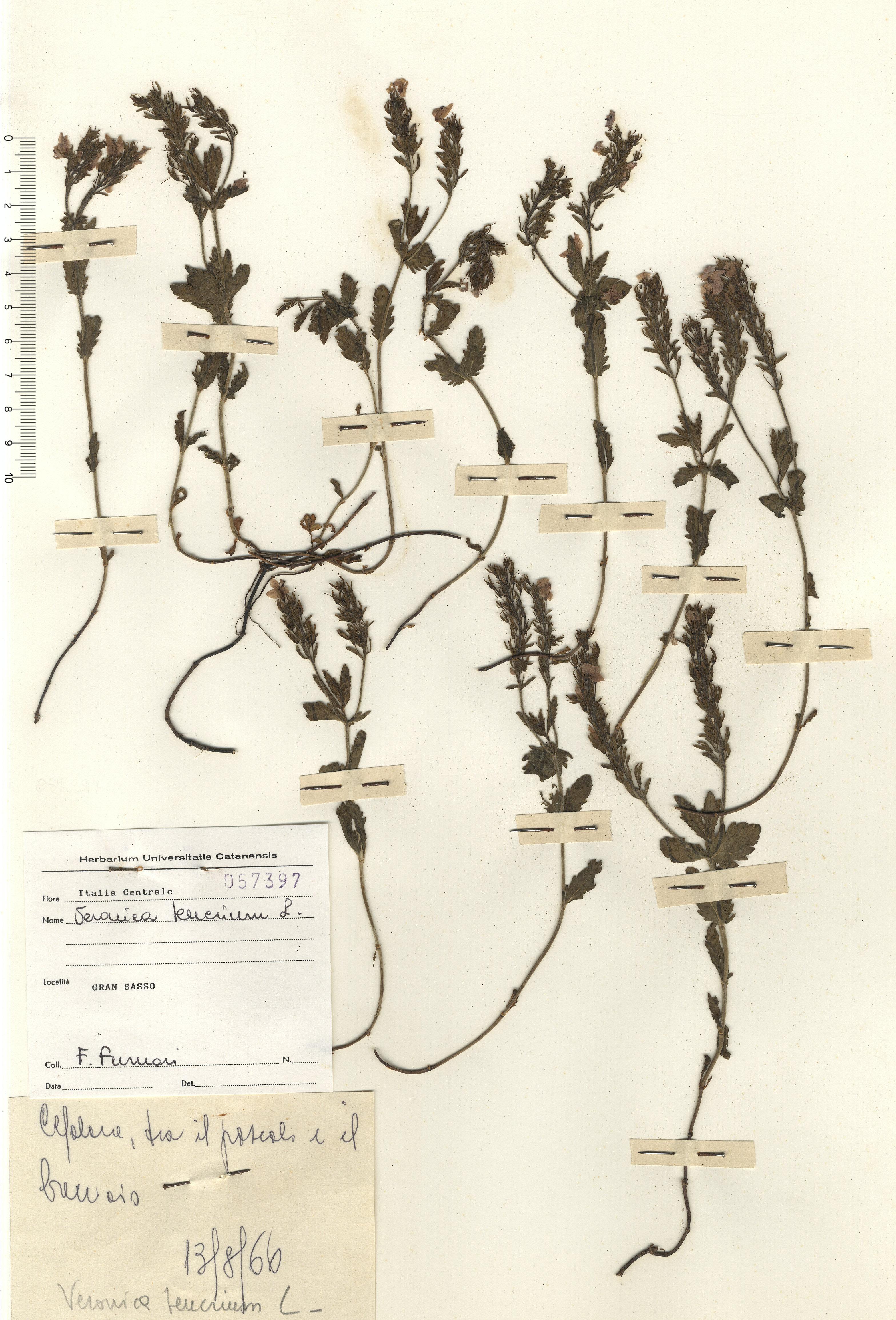 © Hortus  Botanicus Catinensis - Herb. sheet 057397<br>