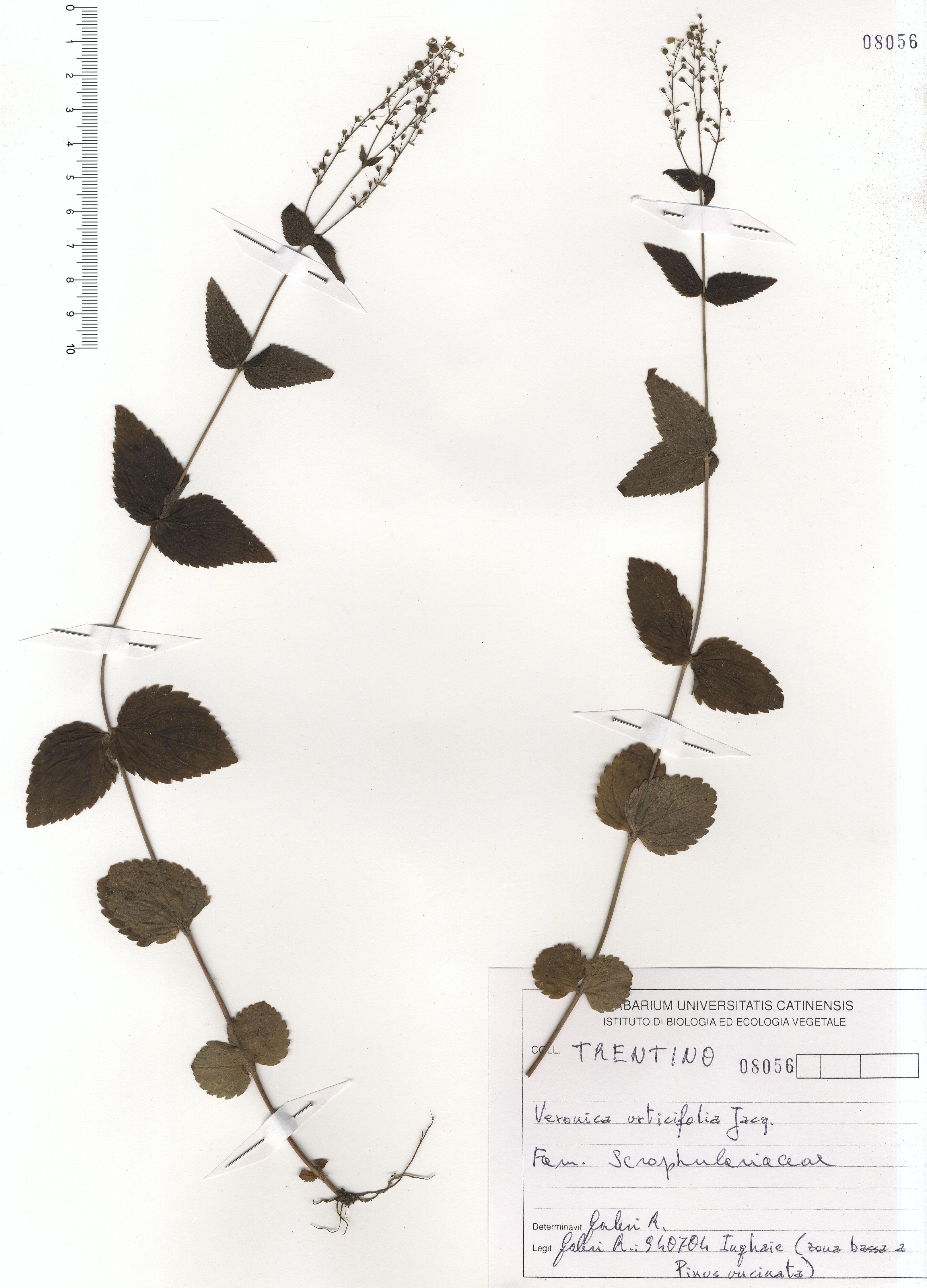 © Hortus  Botanicus Catinensis - Herb. sheet 108056<br>