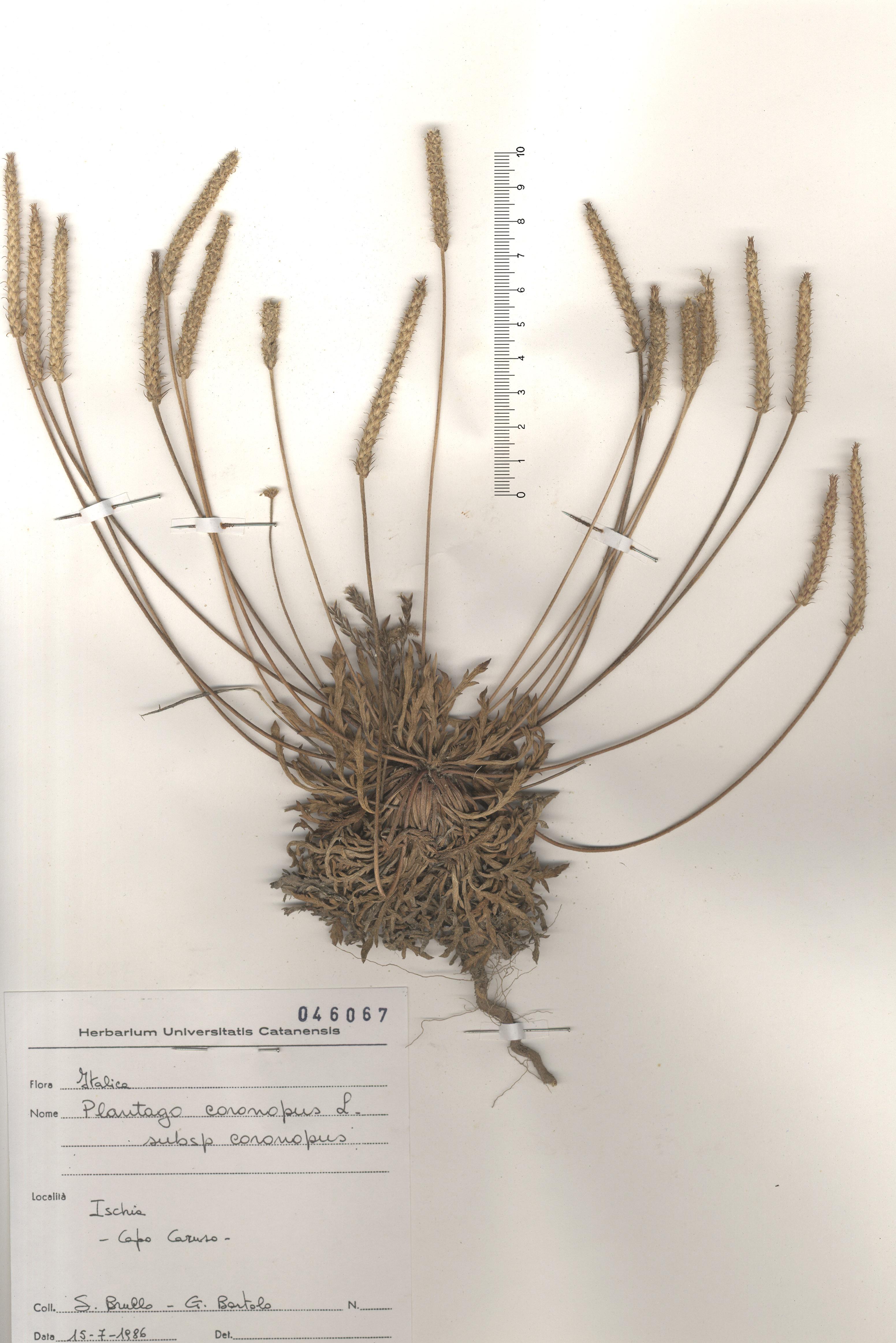 © Hortus Botanicus Catinensis - Herb. sheet 046067<br>