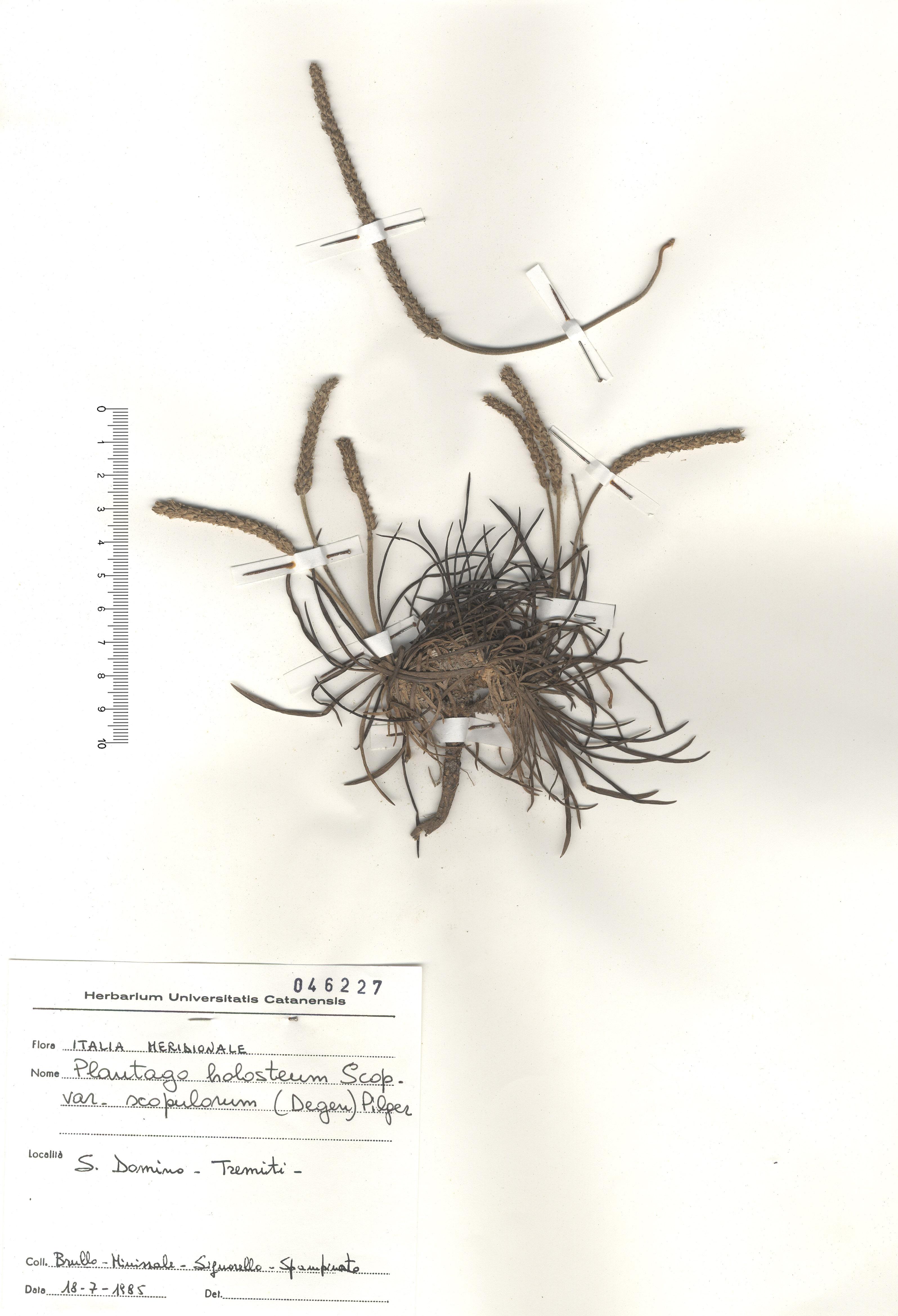 © Hortus Botanicus Catinensis - Herb. sheet 046227<br>