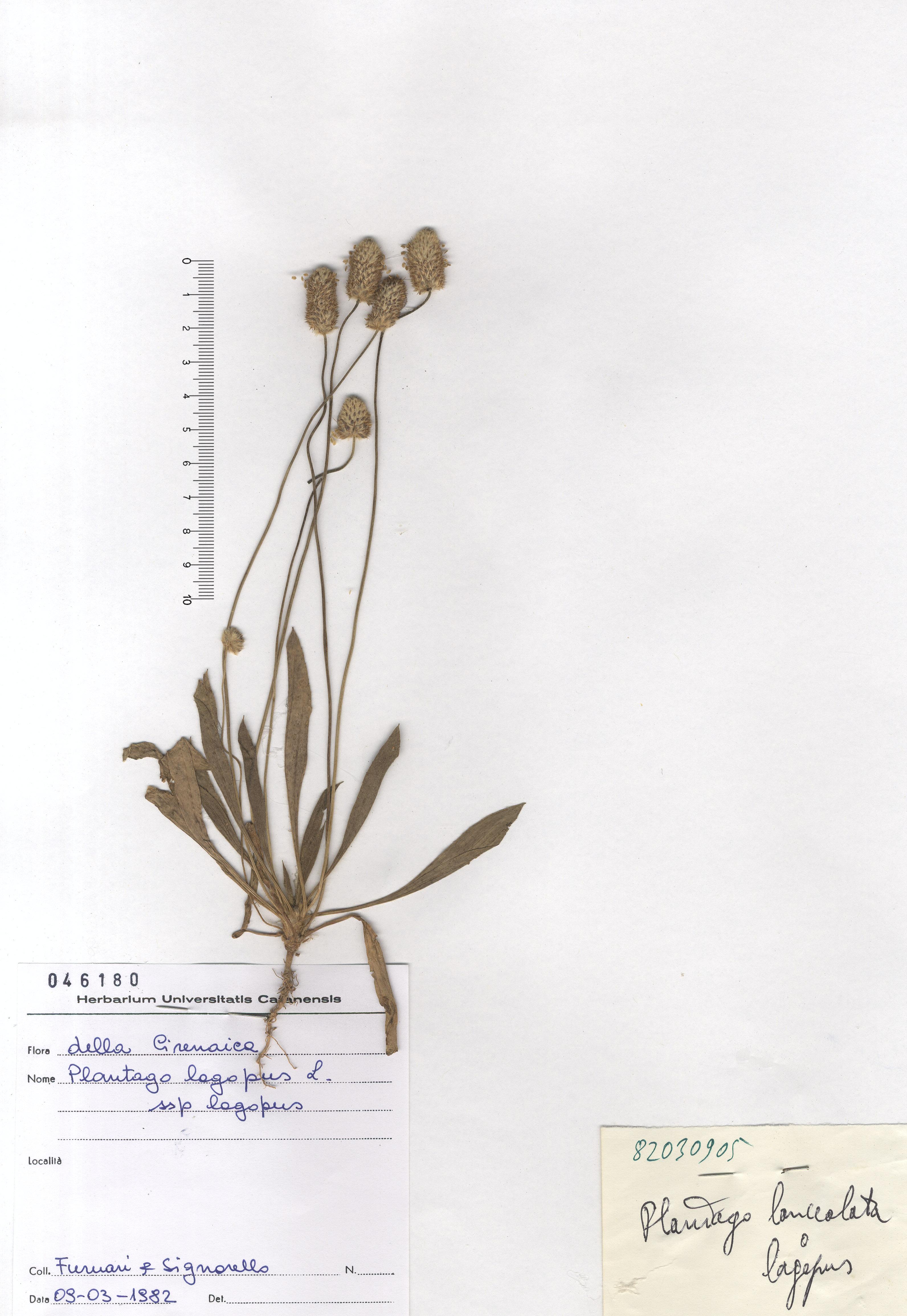 © Hortus Botanicus Catinensis - Herb. sheet 046180<br>