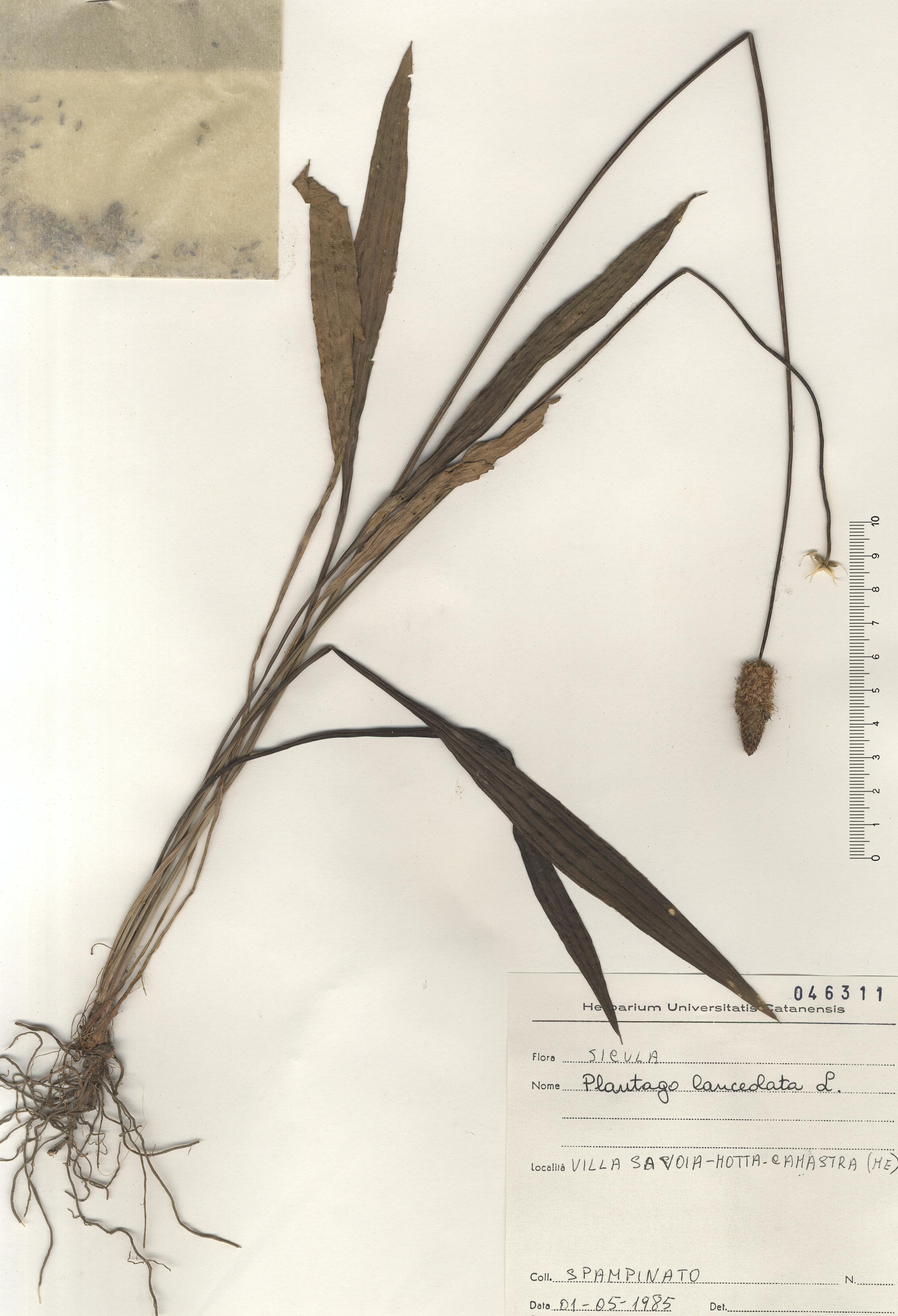 © Hortus Botanicus Catinensis - Herb. sheet 046311<br>