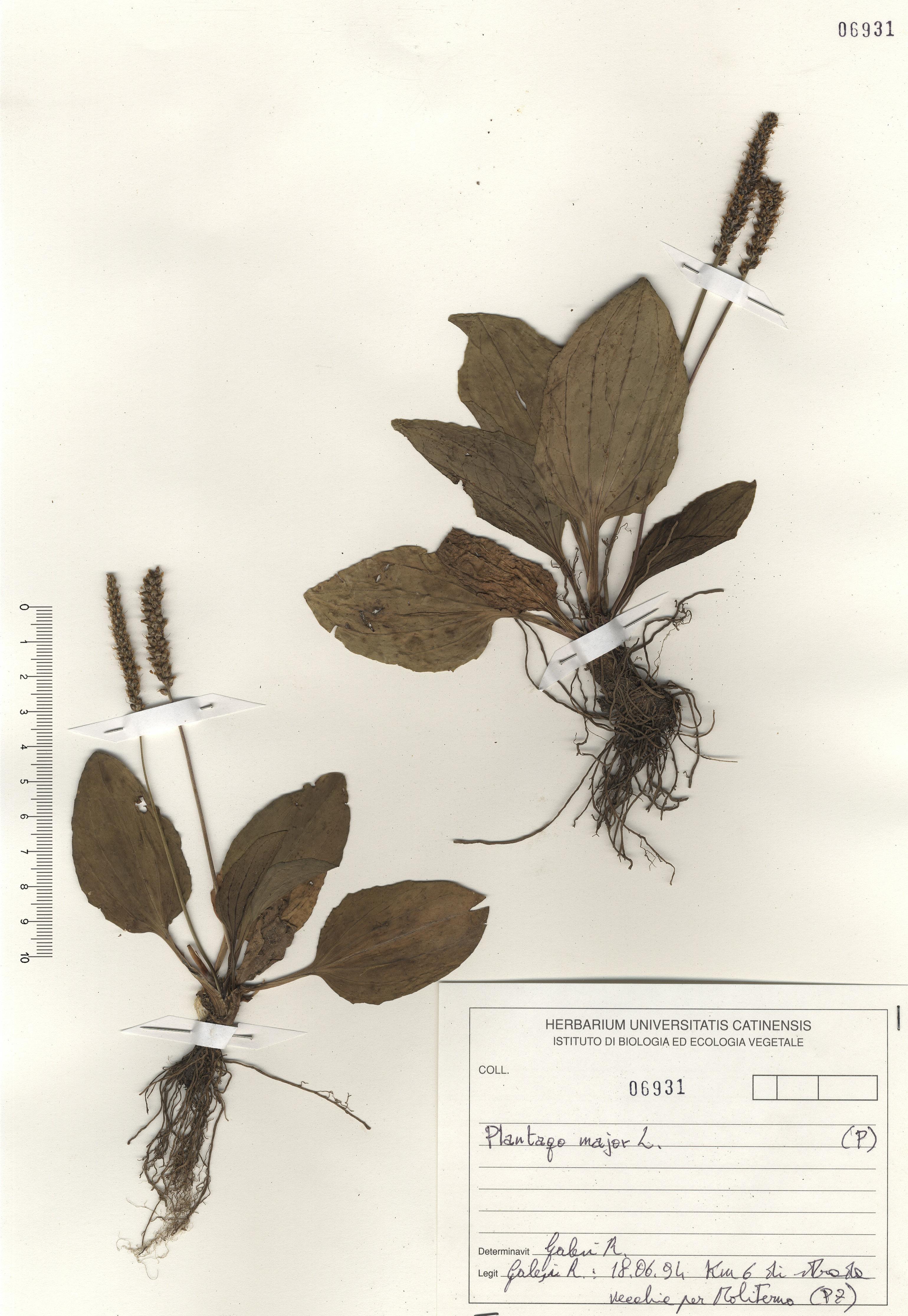 © Hortus Botanicus Catinensis - Herb. sheet 106931<br>
