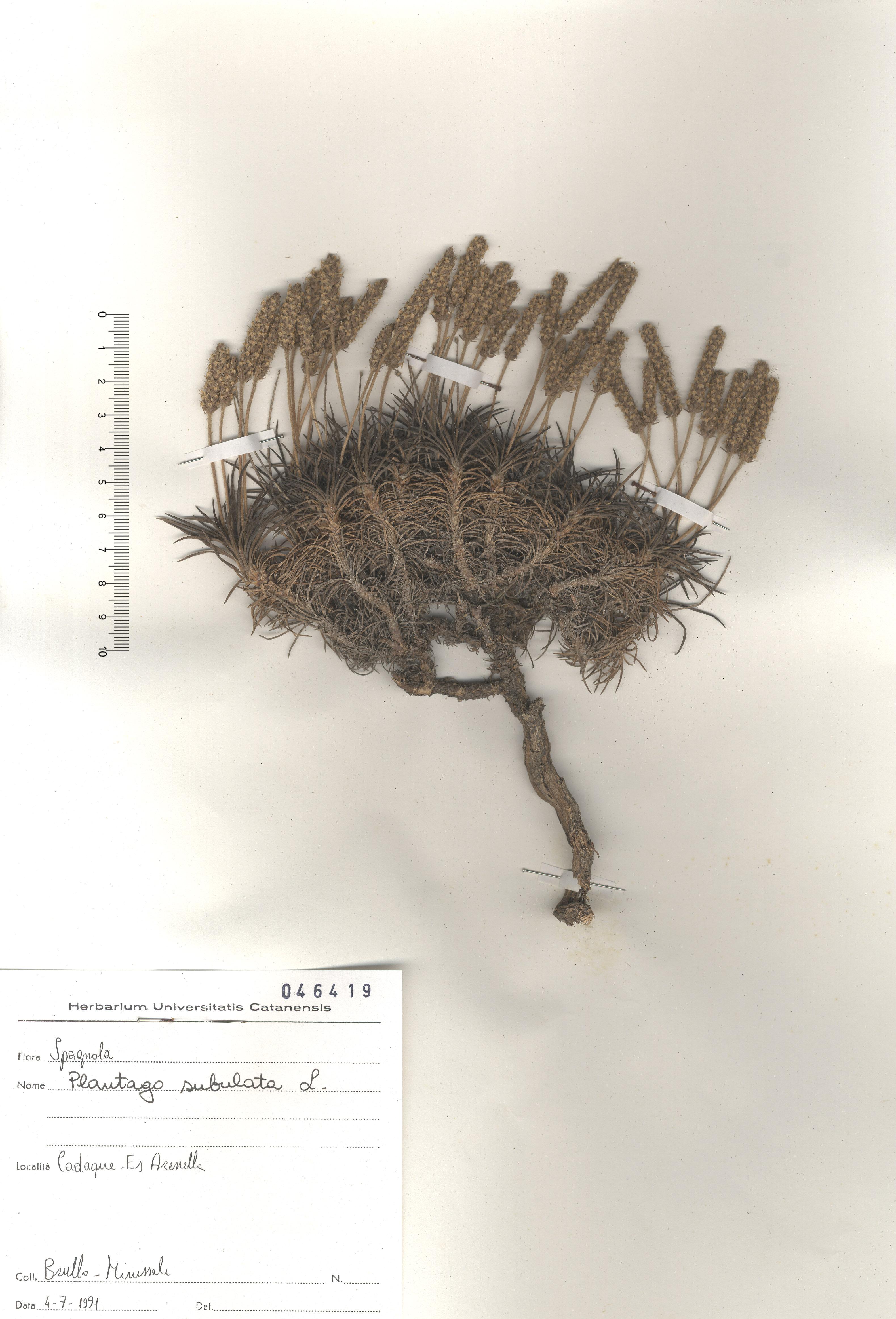 © Hortus Botanicus Catinensis - Herb. sheet 046419<br>
