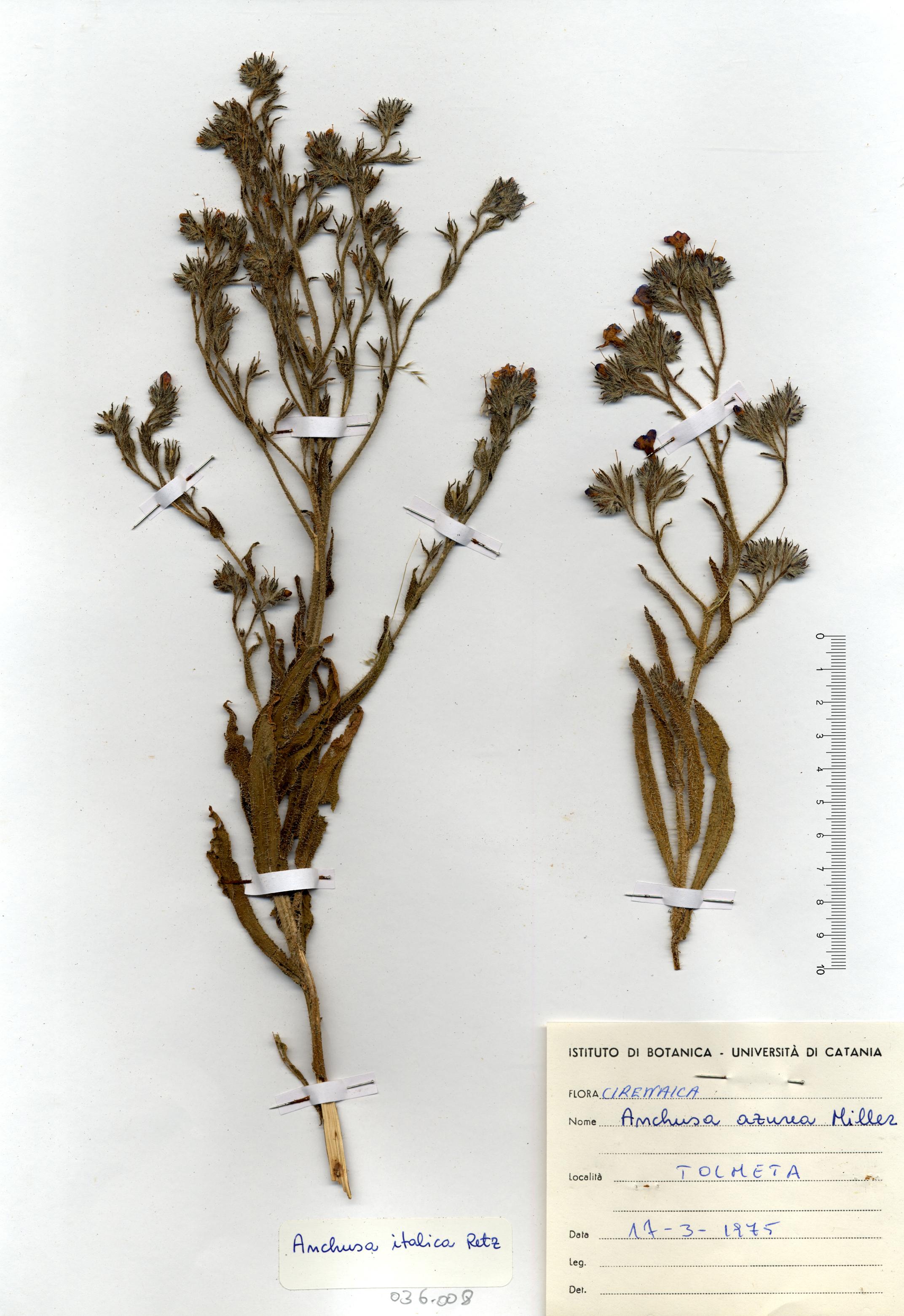 © Hortus Botanicus Catinensis - Herb. sheet 036008<br>