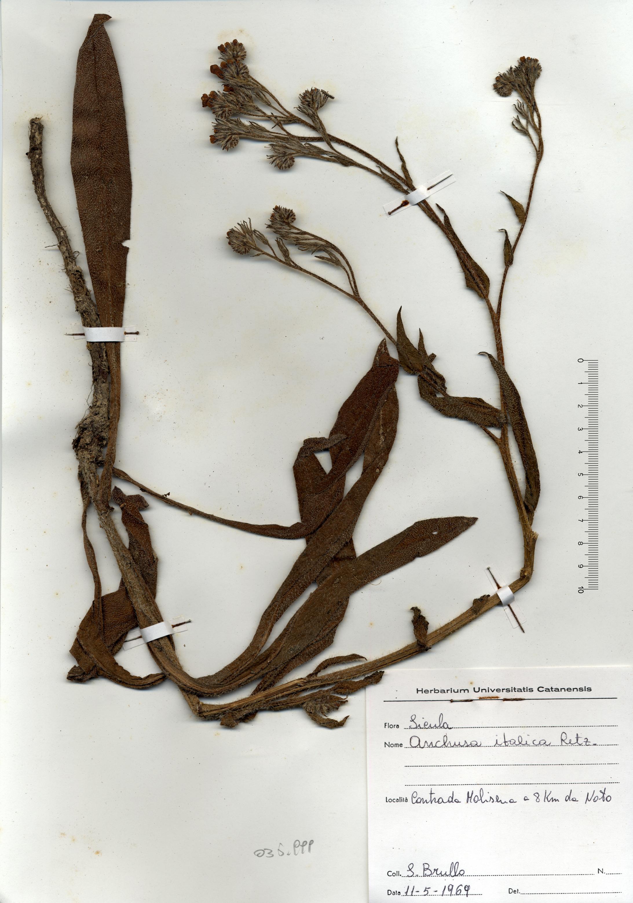 © Hortus Botanicus Catinensis - Herb. sheet 035999<br>