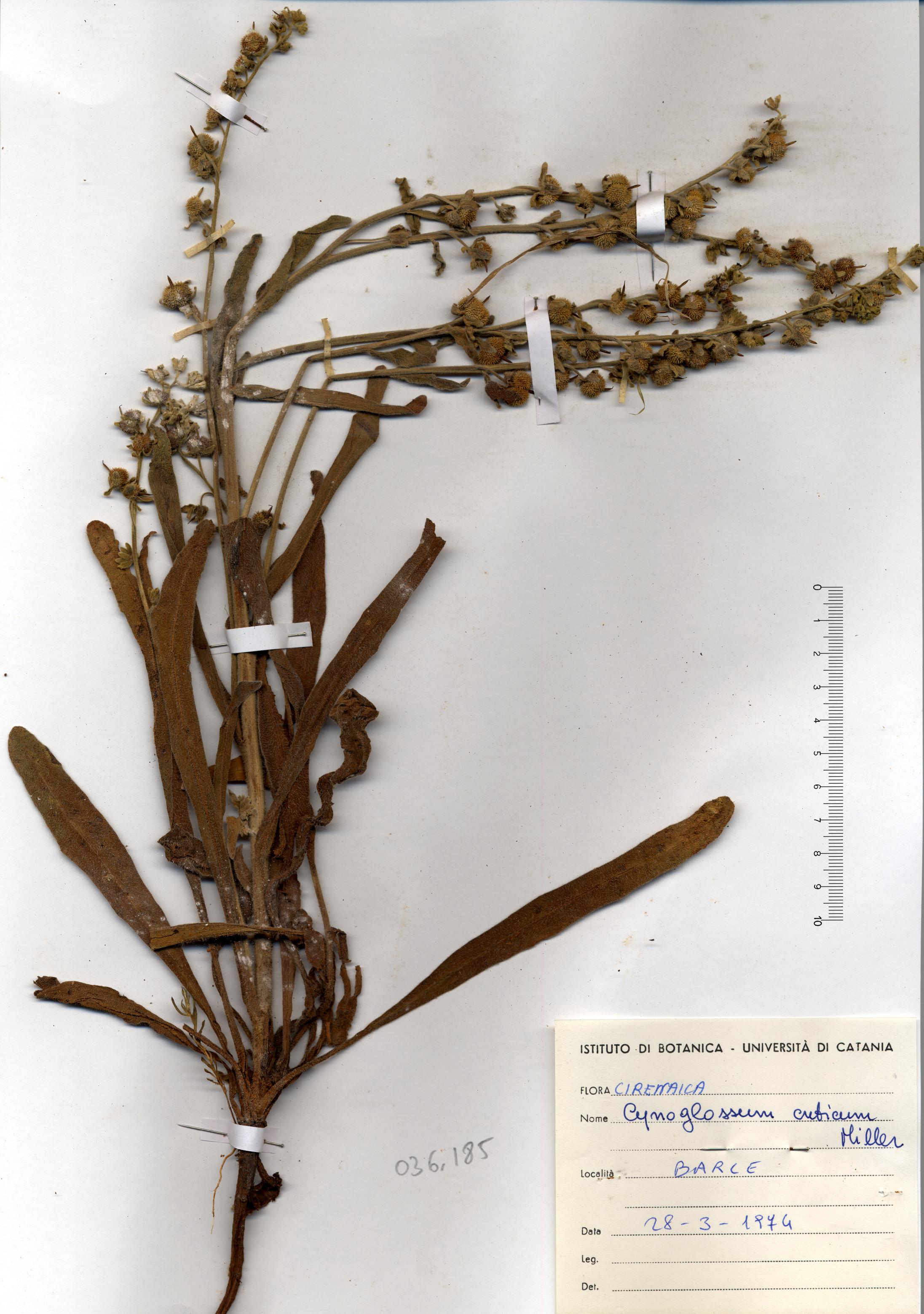 © Hortus Botanicus Catinensis - Herb. sheet 036185<br>