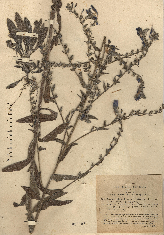 © Hortus Botanicus Catinensis - Herb. sheet 000187<br>