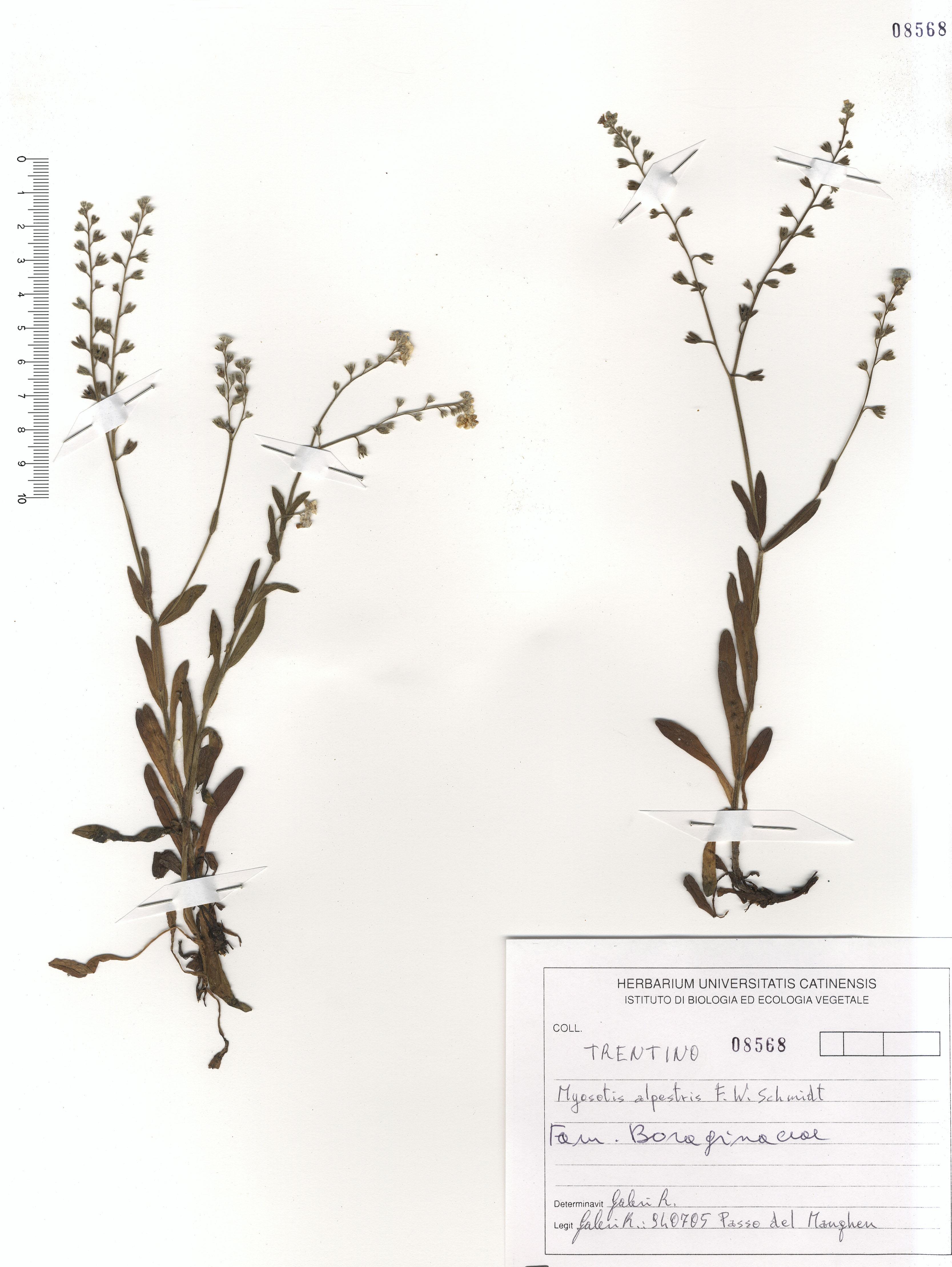 © Hortus Botanicus Catinensis - Herb. sheet 108568<br>