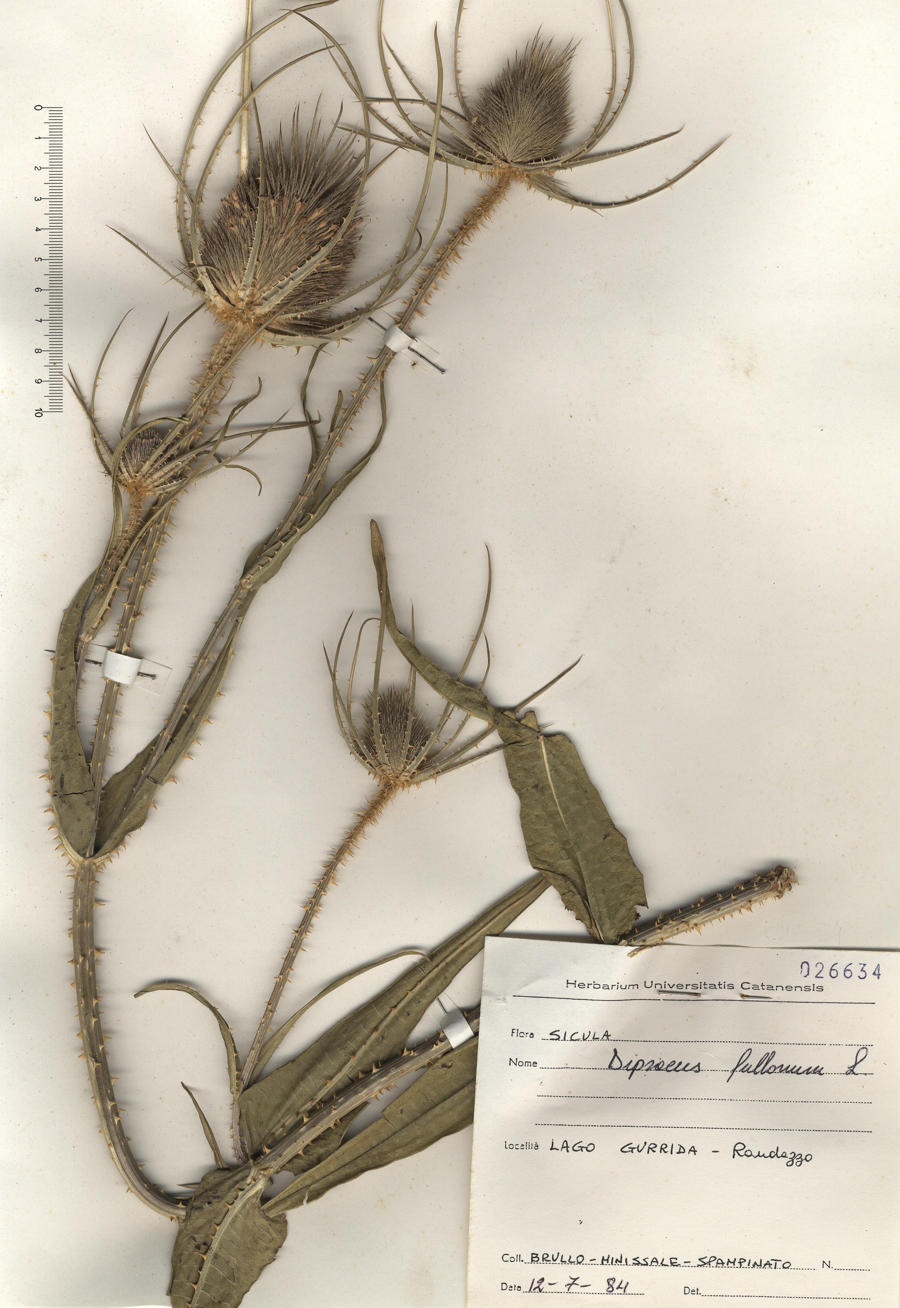 © Hortus Botanicus Catinensis - Herb. sheet 026634<br>