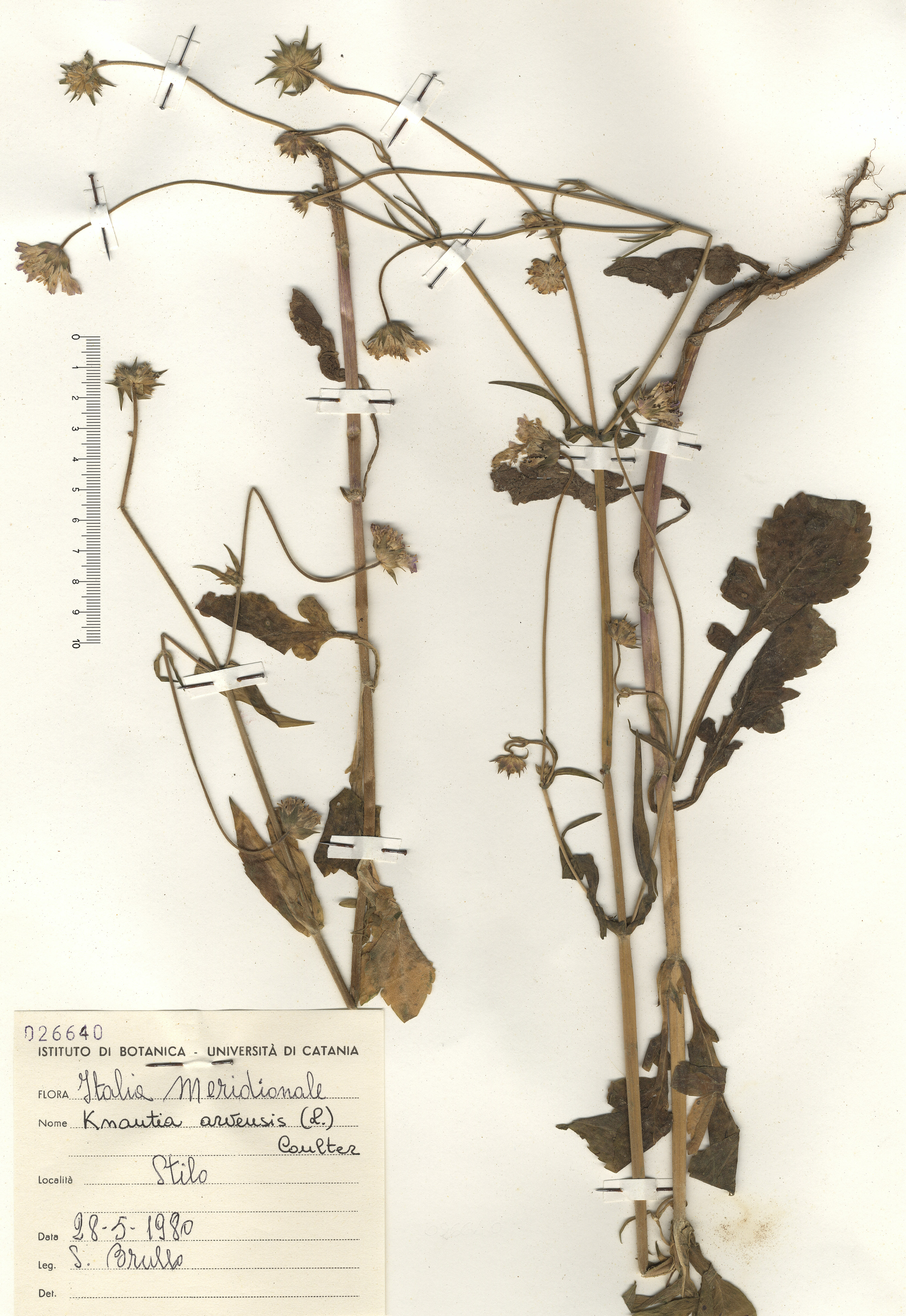 © Hortus Botanicus Catinensis - Herb. sheet 026640<br>