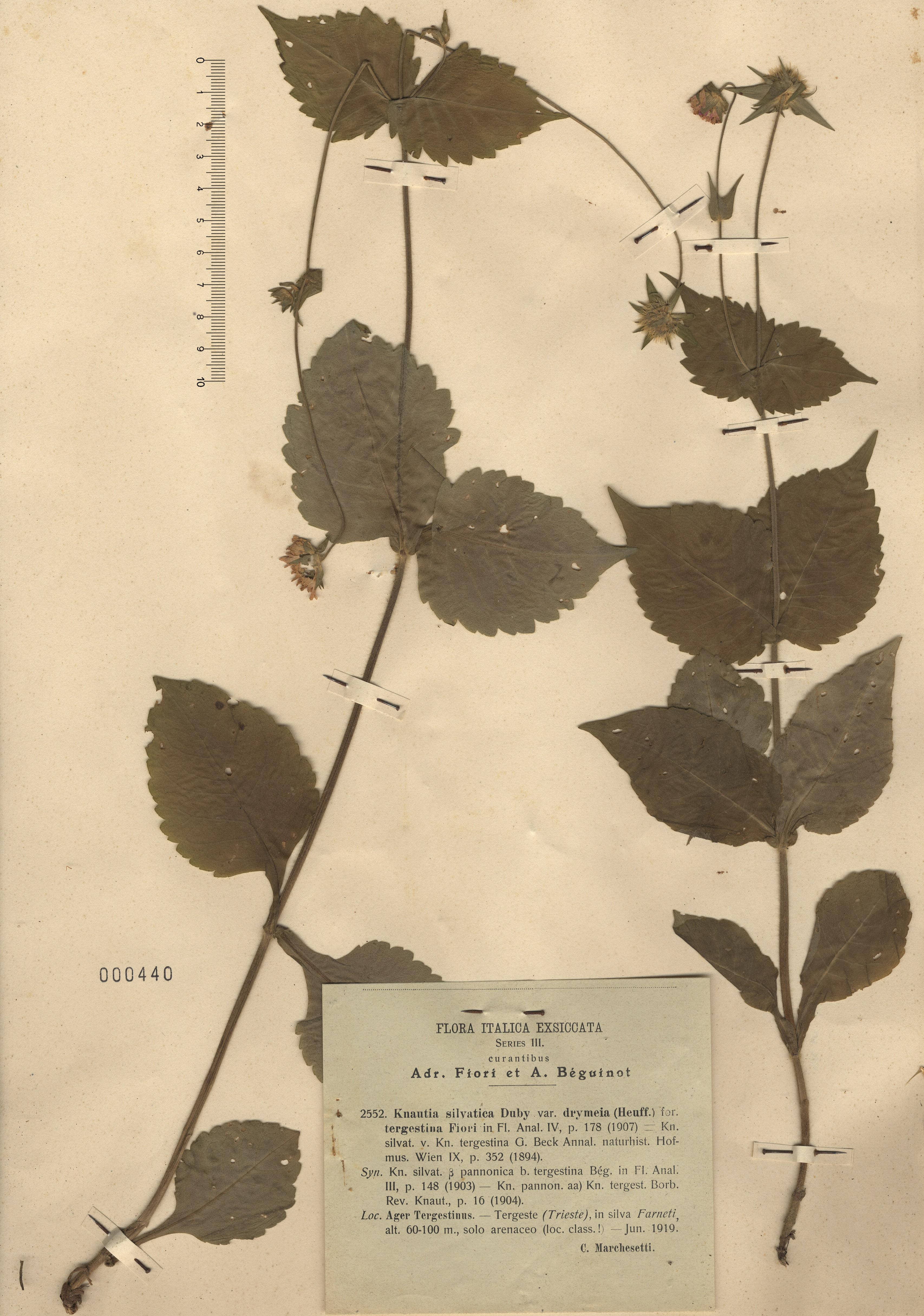 © Hortus Botanicus Catinensis - Herb. sheet 000444<br>