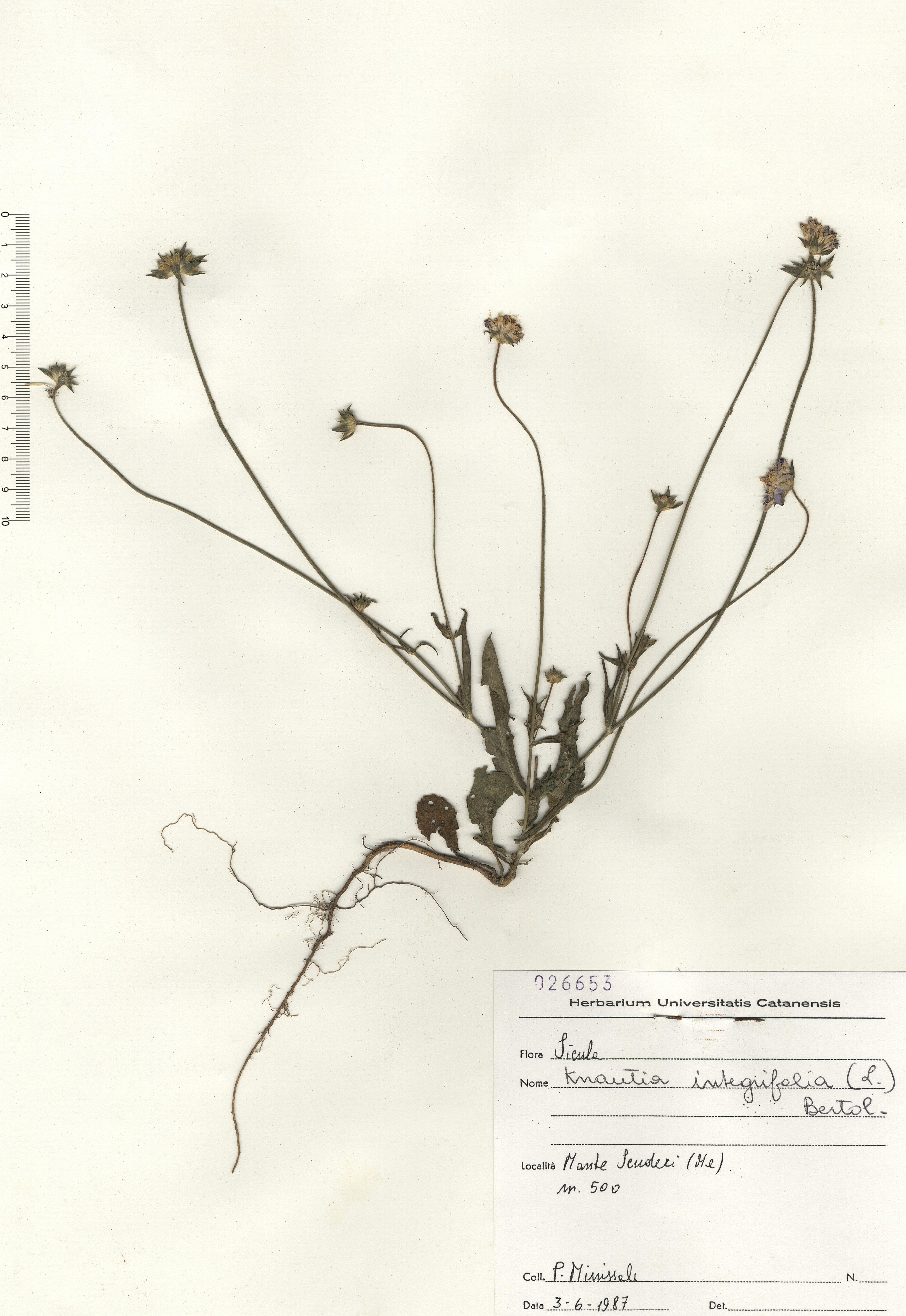 © Hortus Botanicus Catinensis - Herb. sheet 026653<br>