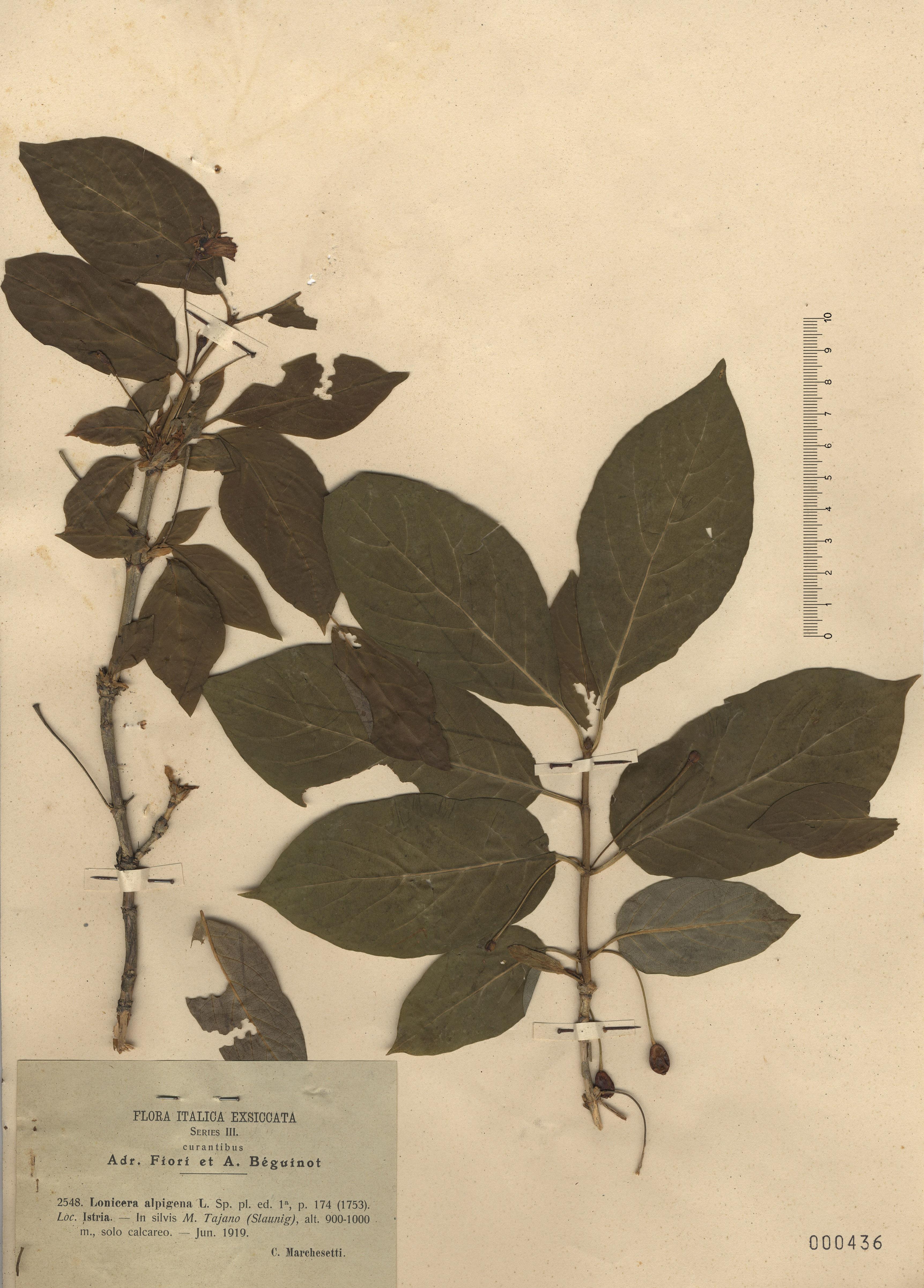 © Hortus Botanicus Catinensis - Herb. sheet 000436<br>