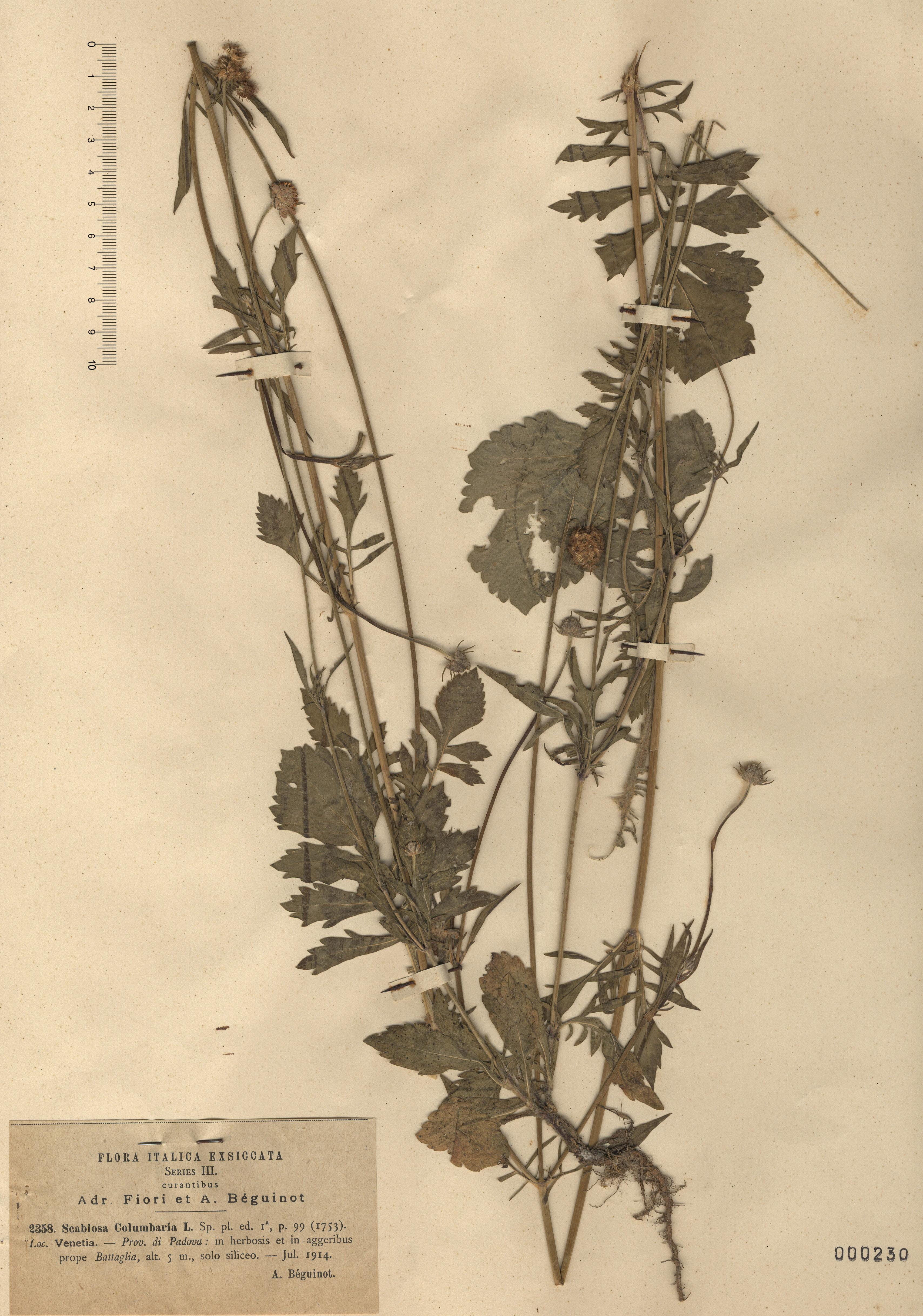 © Hortus Botanicus Catinensis - Herb. sheet 000230<br>