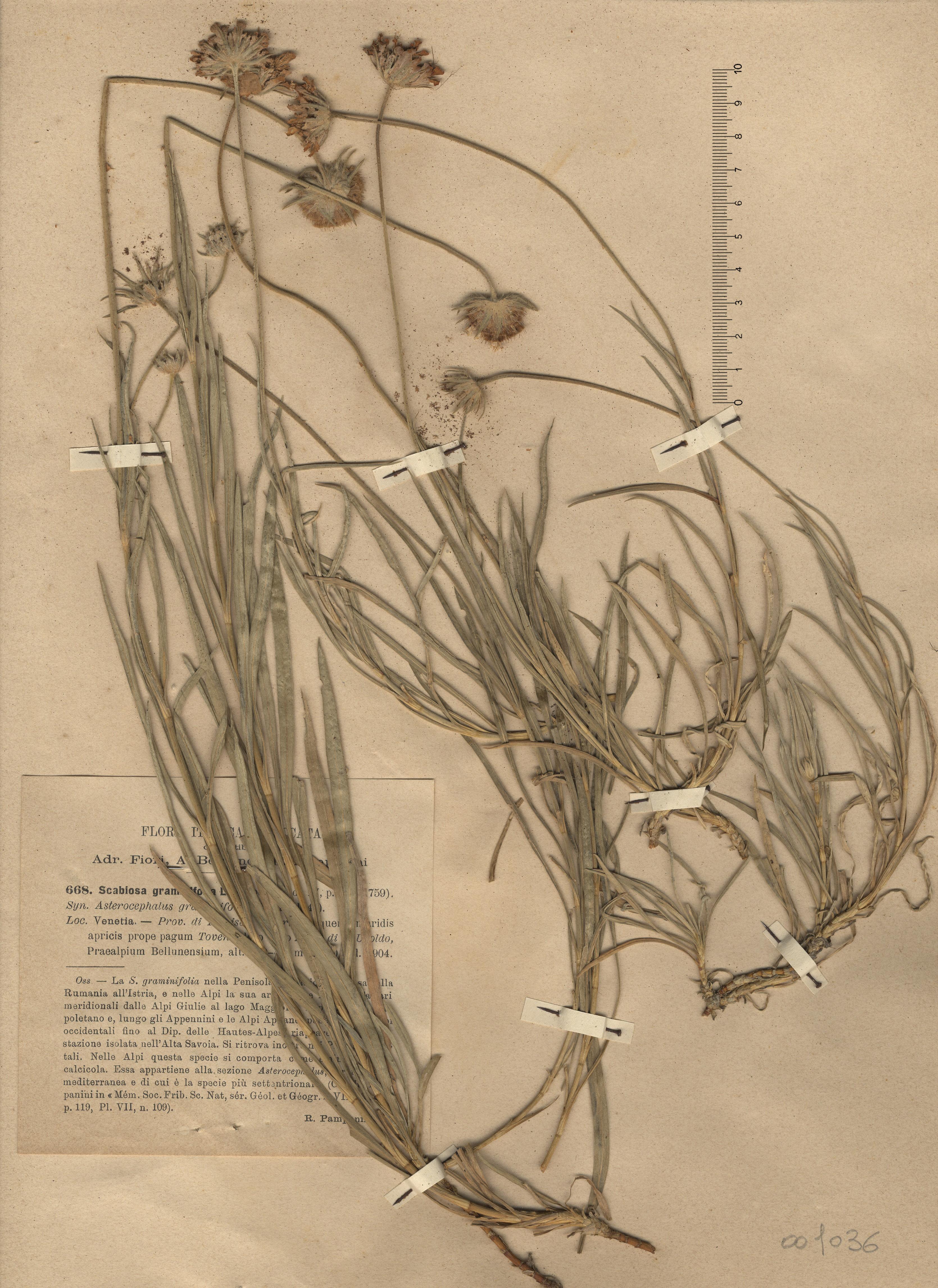 © Hortus Botanicus Catinensis - Herb. sheet 001036<br>