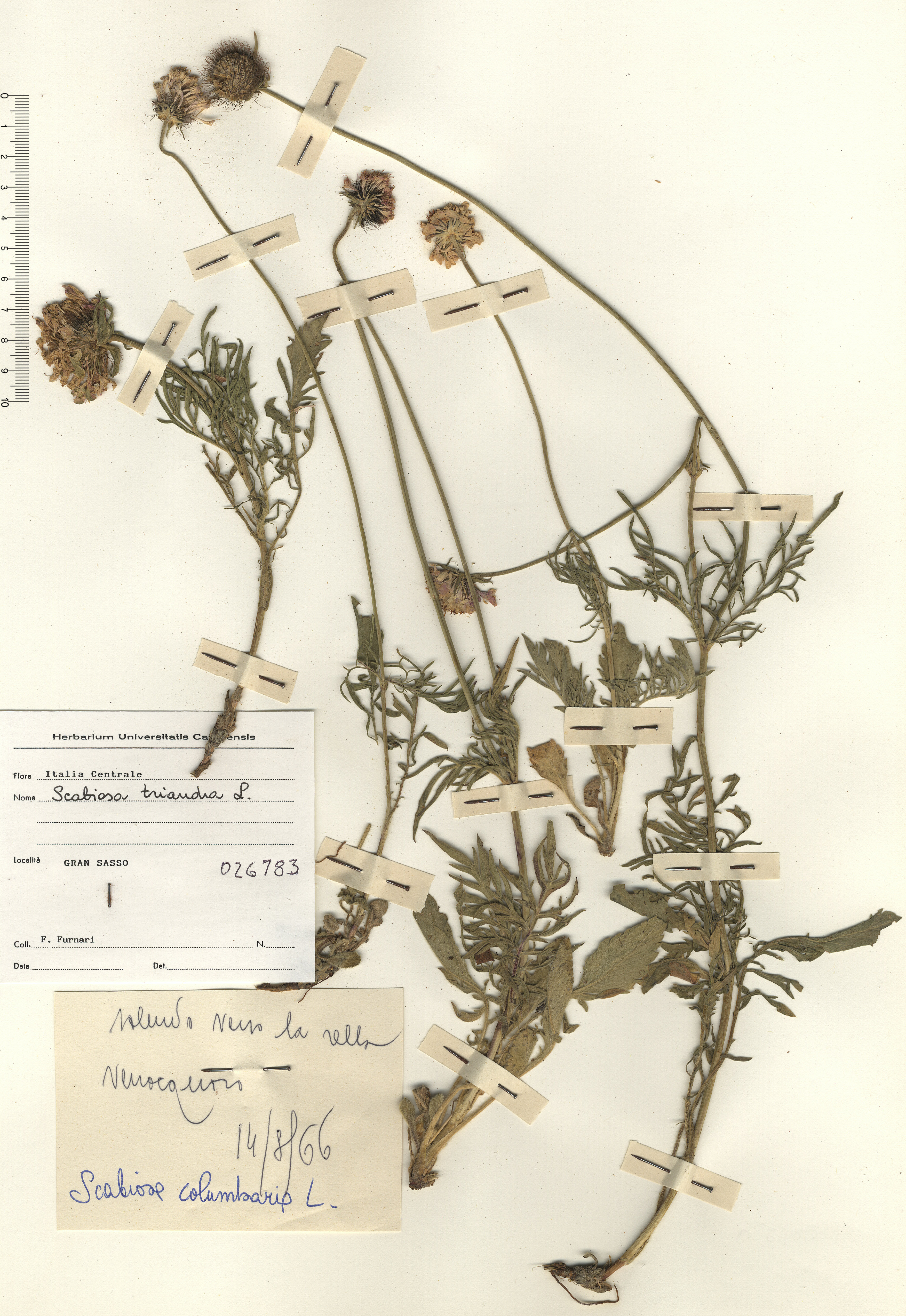 © Hortus Botanicus Catinensis - Herb. sheet 026783<br>
