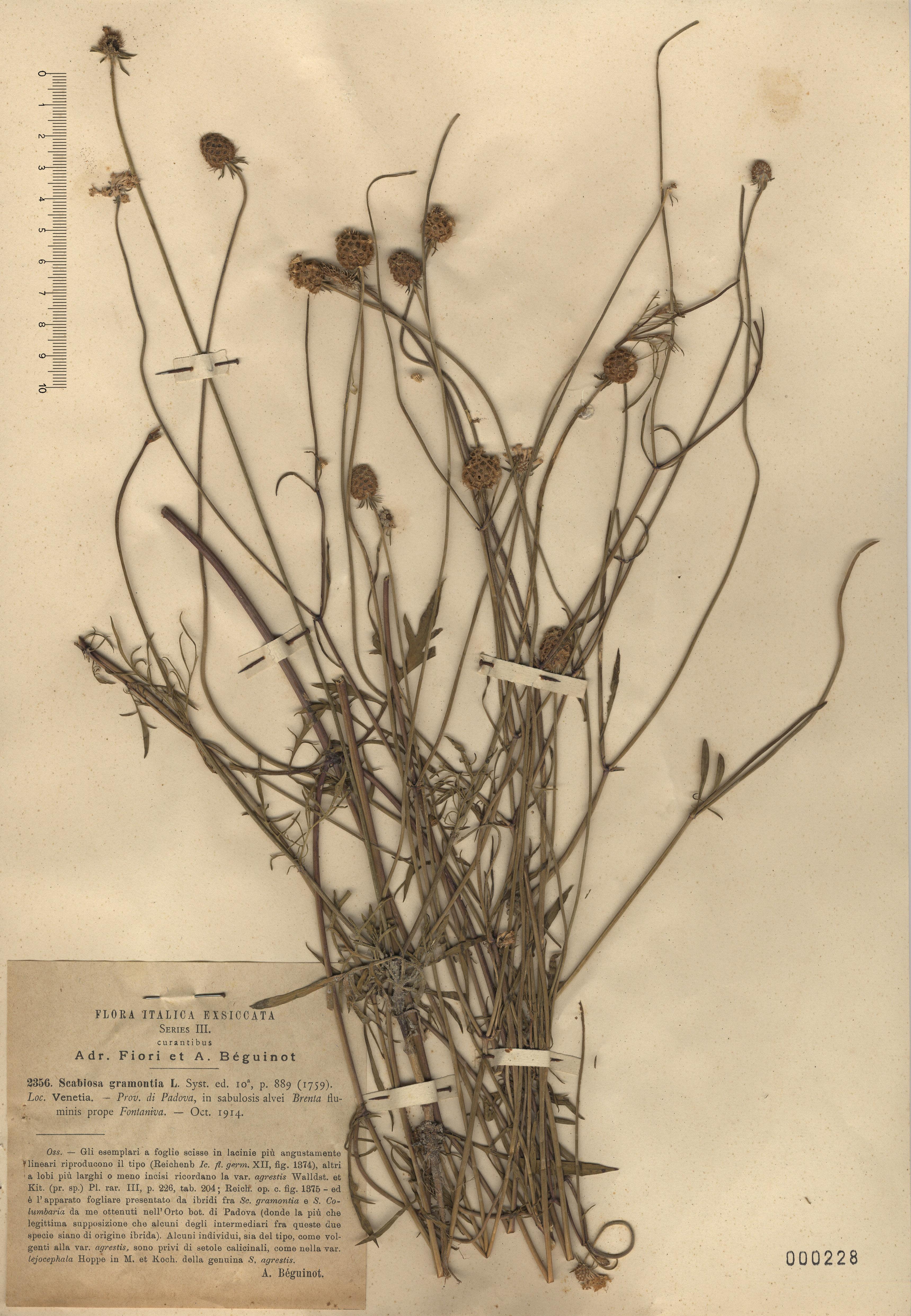 © Hortus Botanicus Catinensis - Herb. sheet 000228<br>