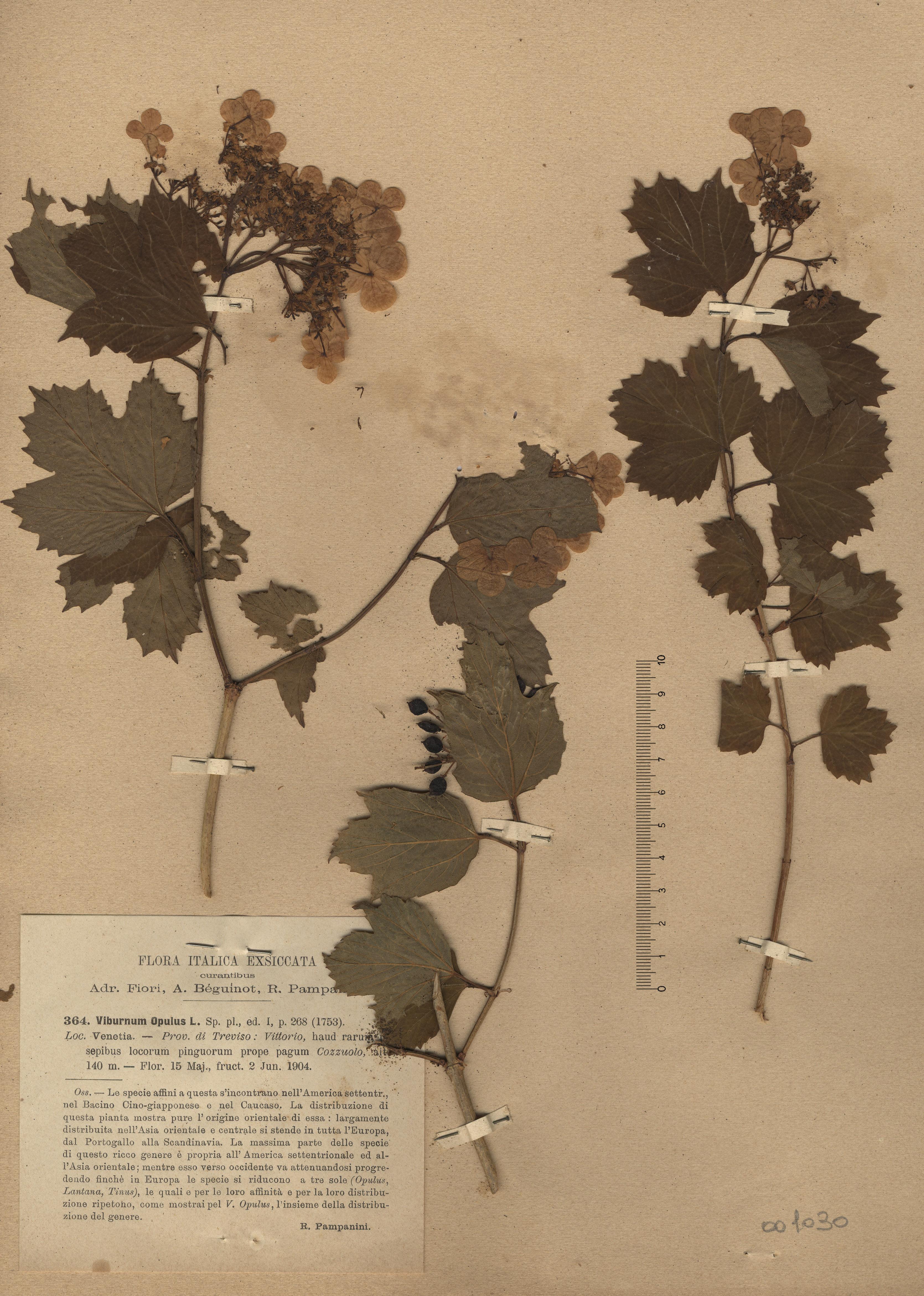 © Hortus Botanicus Catinensis - Herb. sheet 001008<br>
