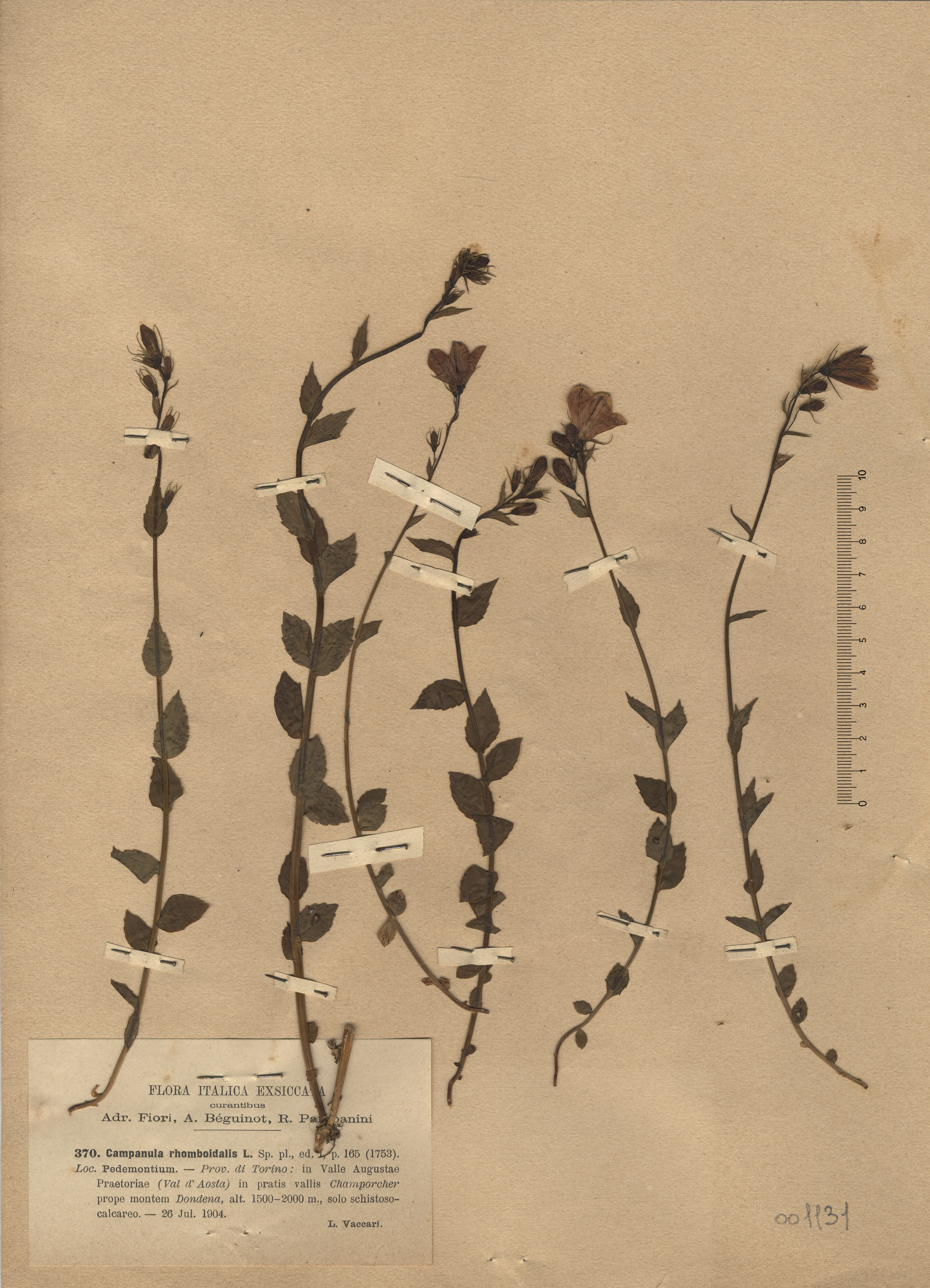 © Hortus Botanicus Catinensis - Herb. sheet 001131<br>