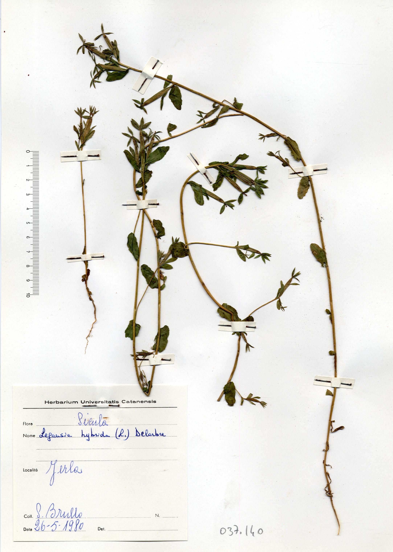© Hortus Botanicus Catinensis - Herb. sheet 037140<br>