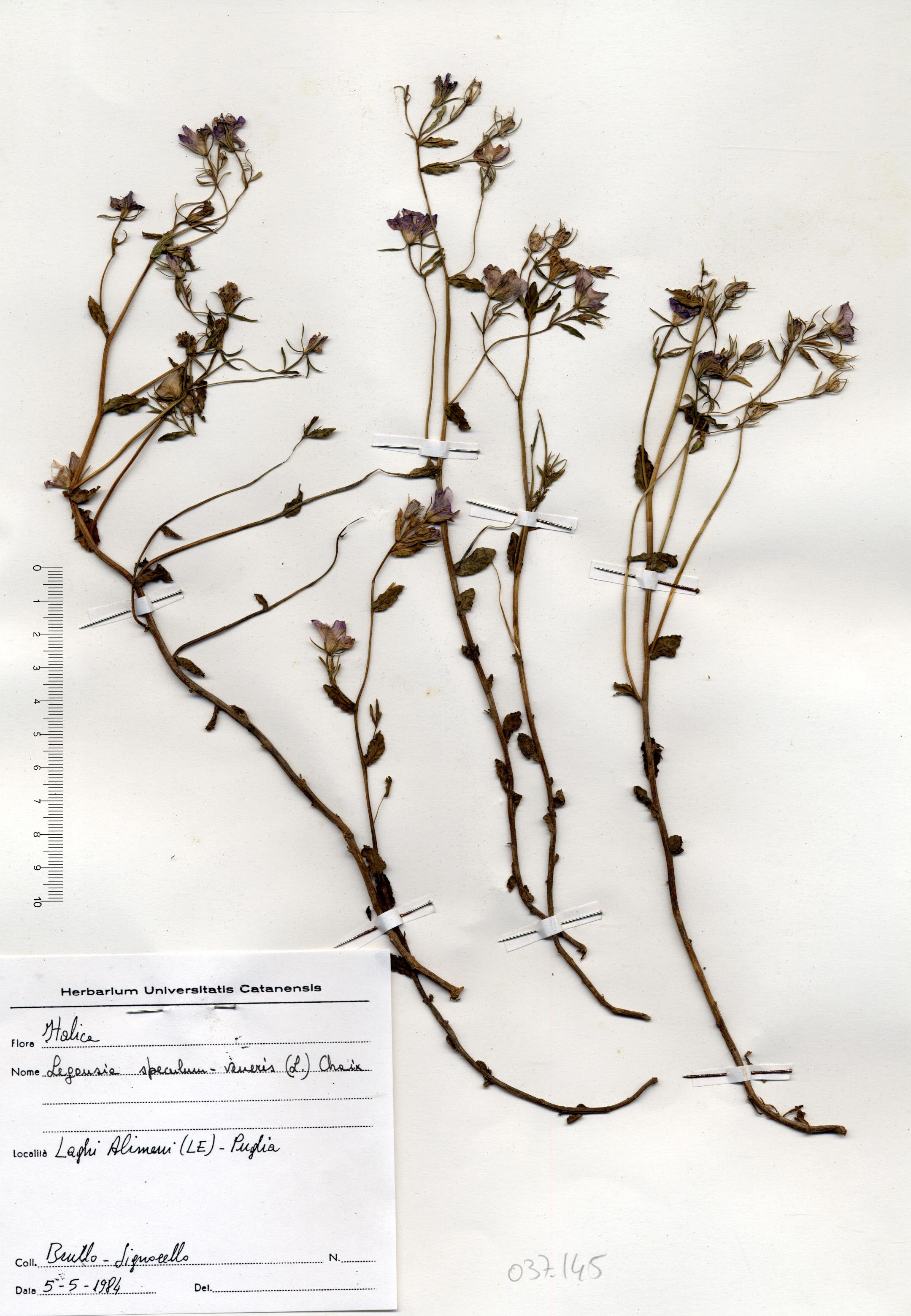 © Hortus Botanicus Catinensis - Herb. sheet 037145<br>