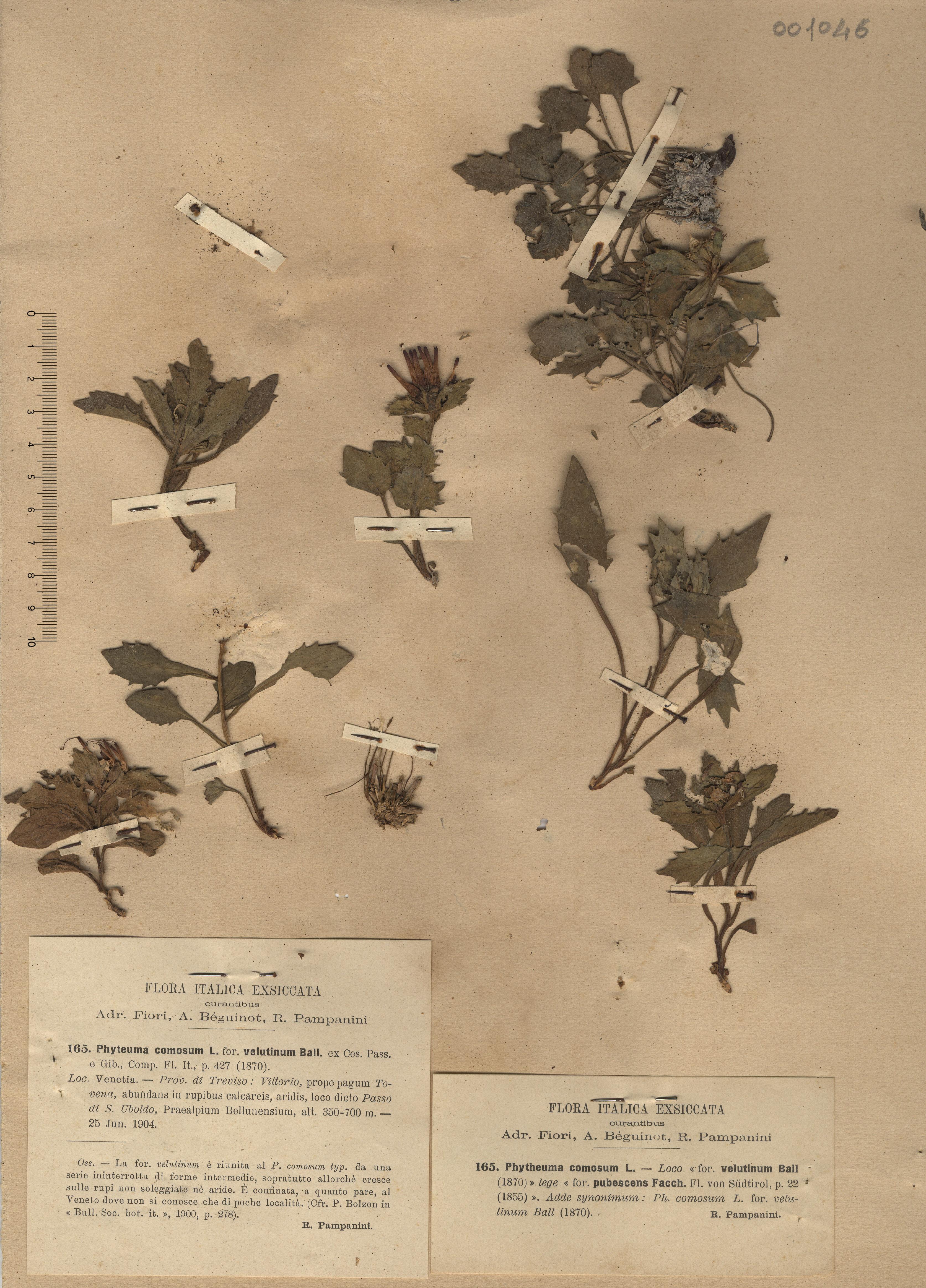 © Hortus Botanicus Catinensis - Herb. sheet 001046<br>