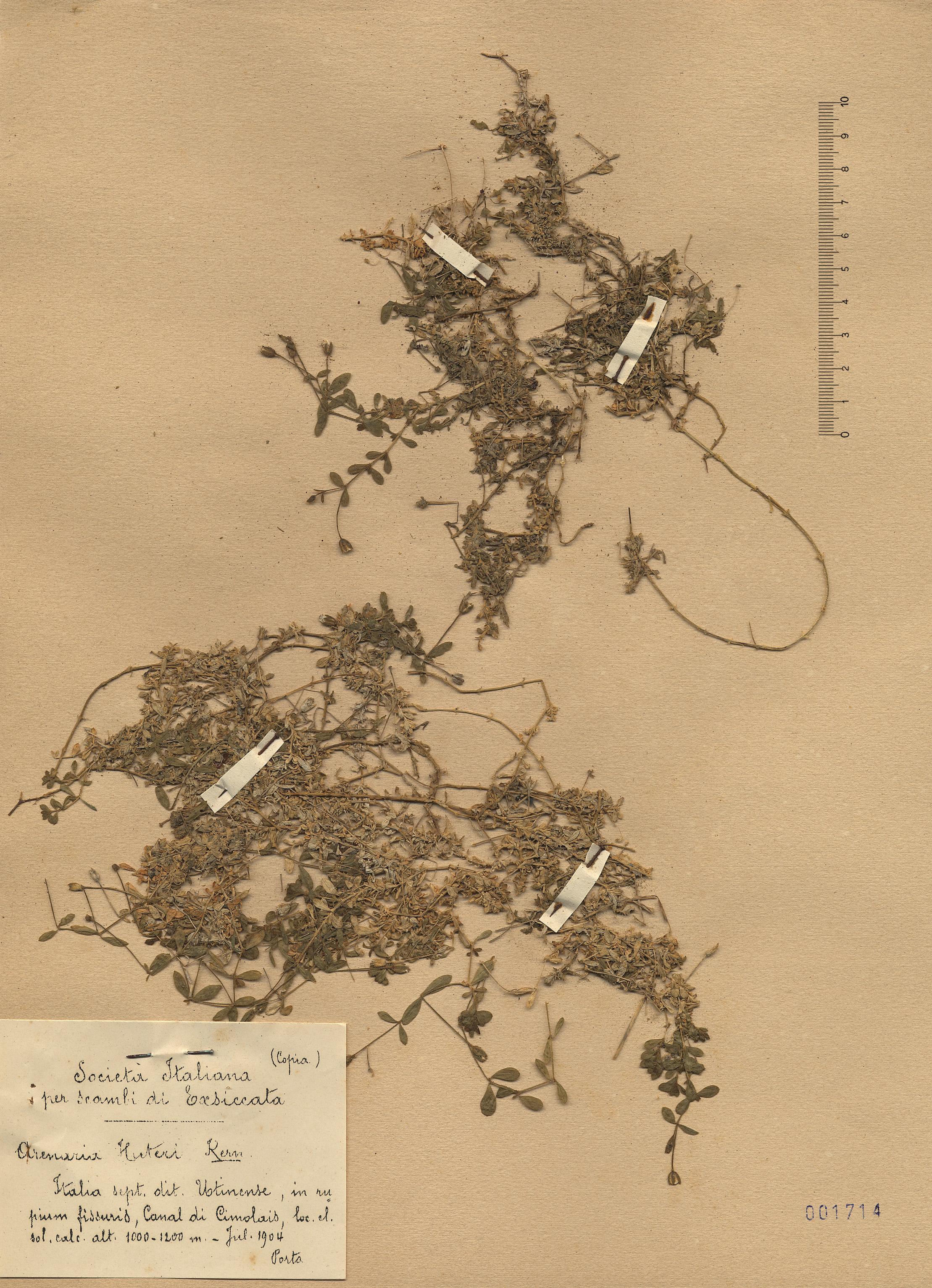 © Hortus Botanicus Catinensis - Herb. sheet 001714<br>