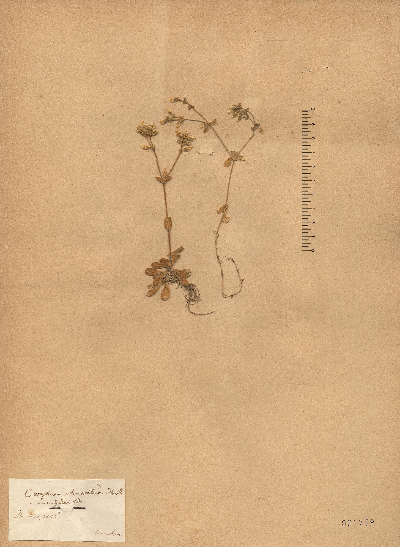 © Hortus Botanicus Catinensis - Herb. sheet 001739<br>
