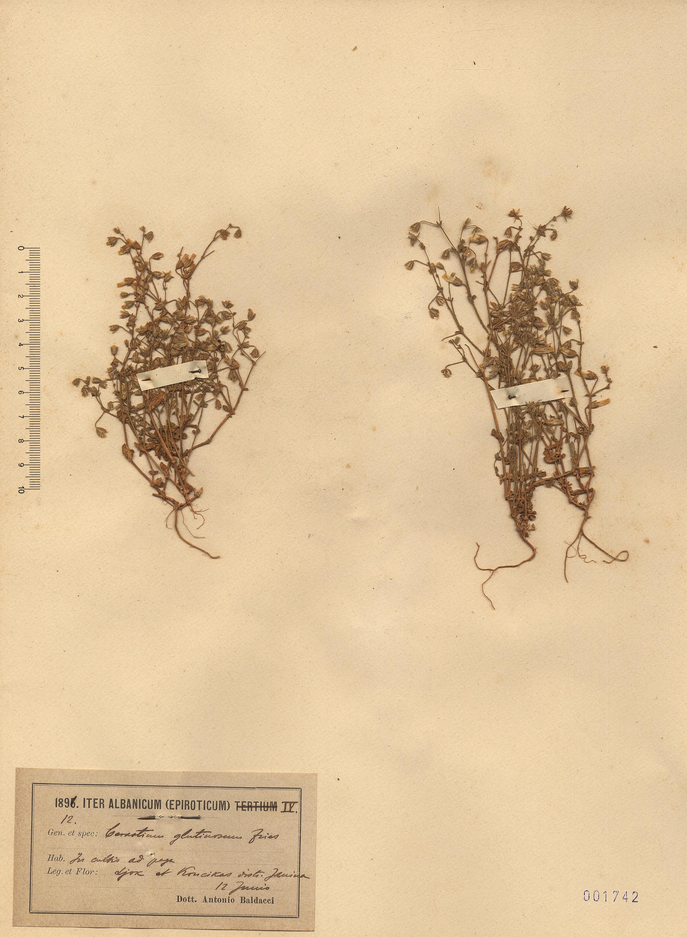 © Hortus Botanicus Catinensis - Herb. sheet 001742<br>