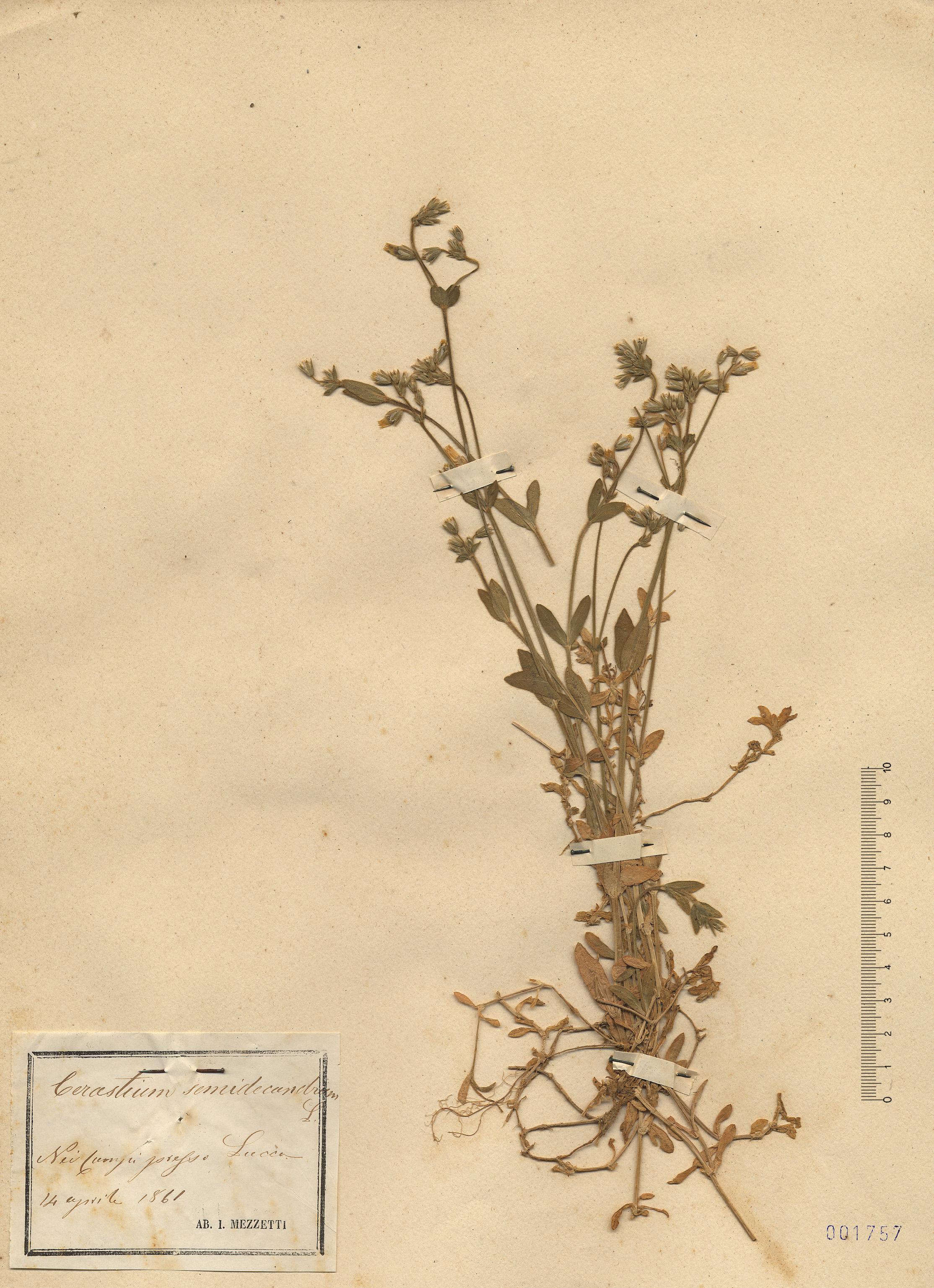 © Hortus Botanicus Catinensis - Herb. sheet 001757<br>