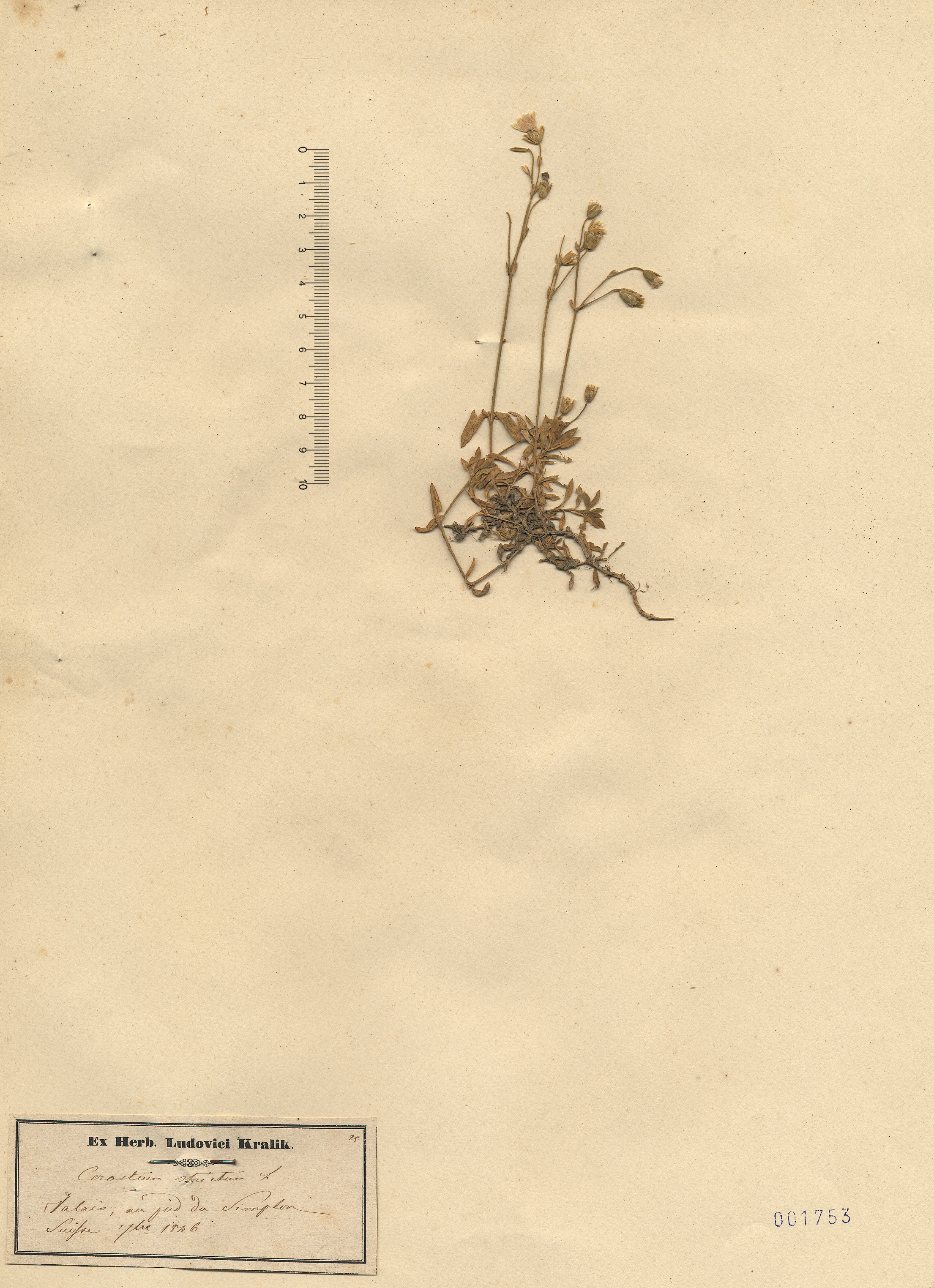 © Hortus Botanicus Catinensis - Herb. sheet 001753<br>