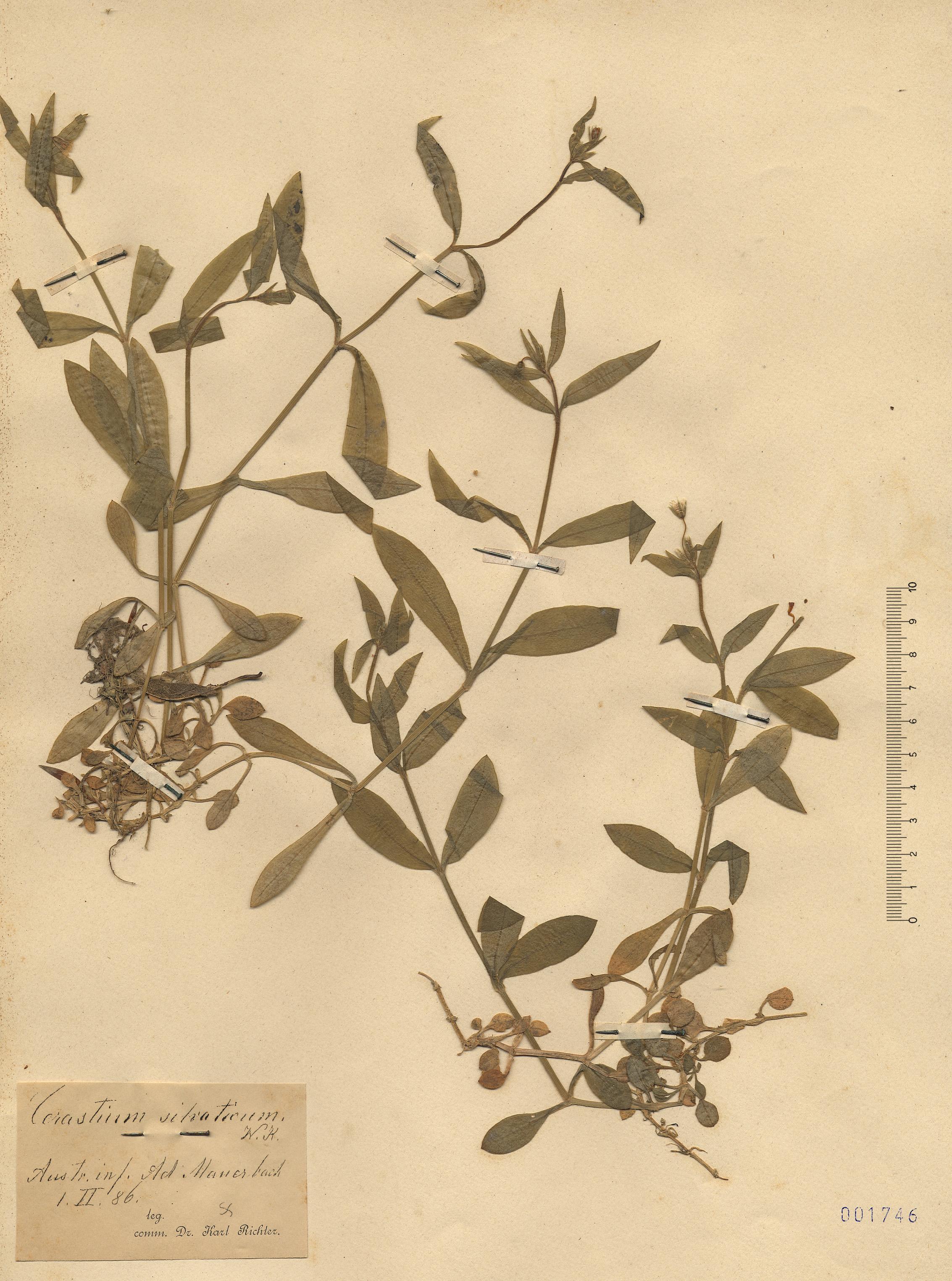 © Hortus Botanicus Catinensis - Herb. sheet 001746<br>