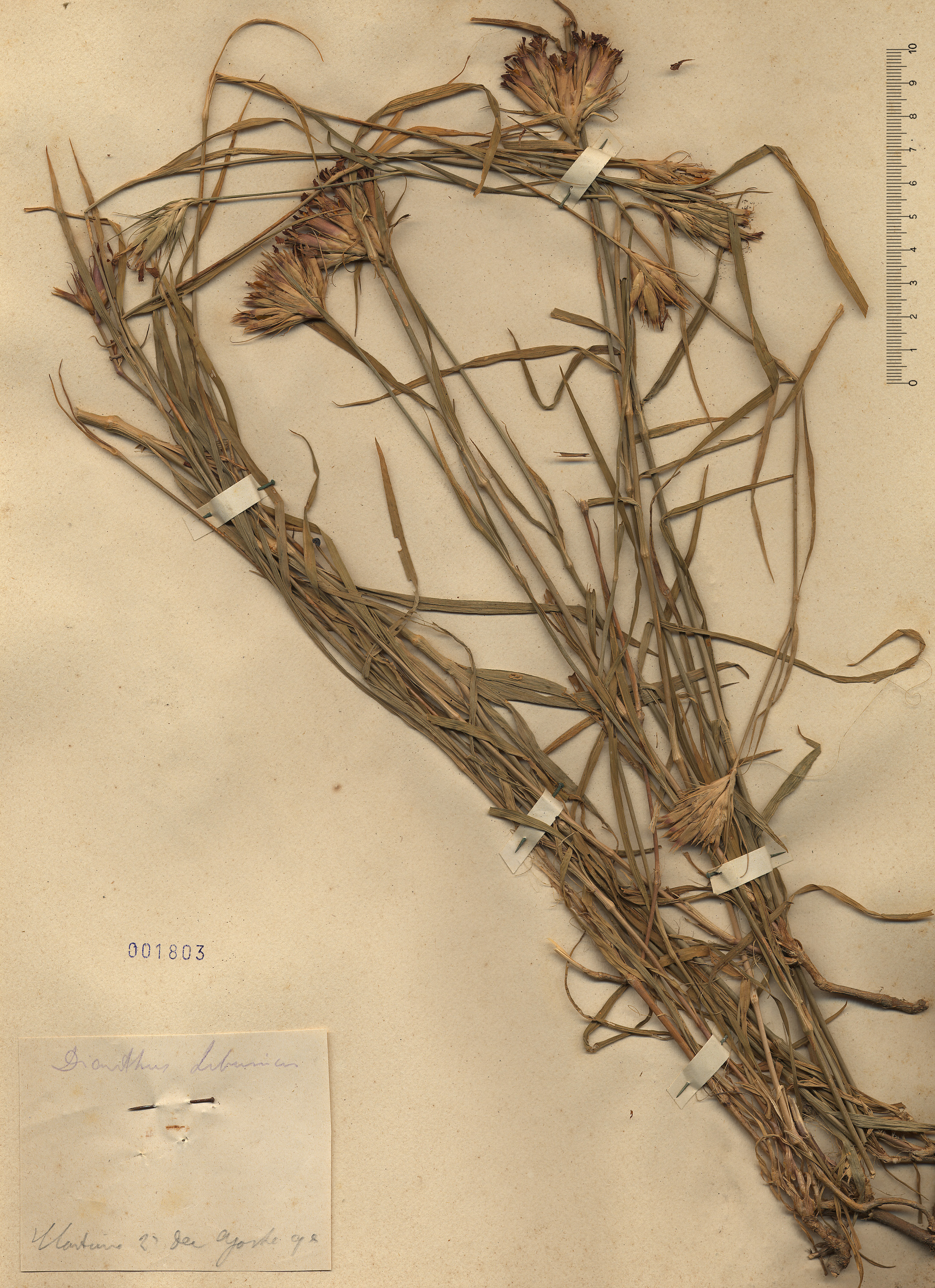 © Hortus Botanicus Catinensis - Herb. sheet 001803<br>