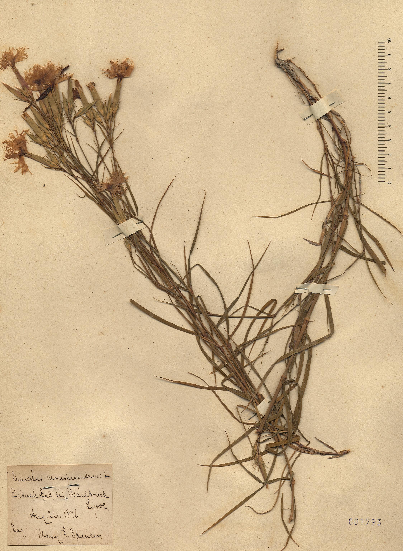 © Hortus Botanicus Catinensis - Herb. sheet 001793<br>