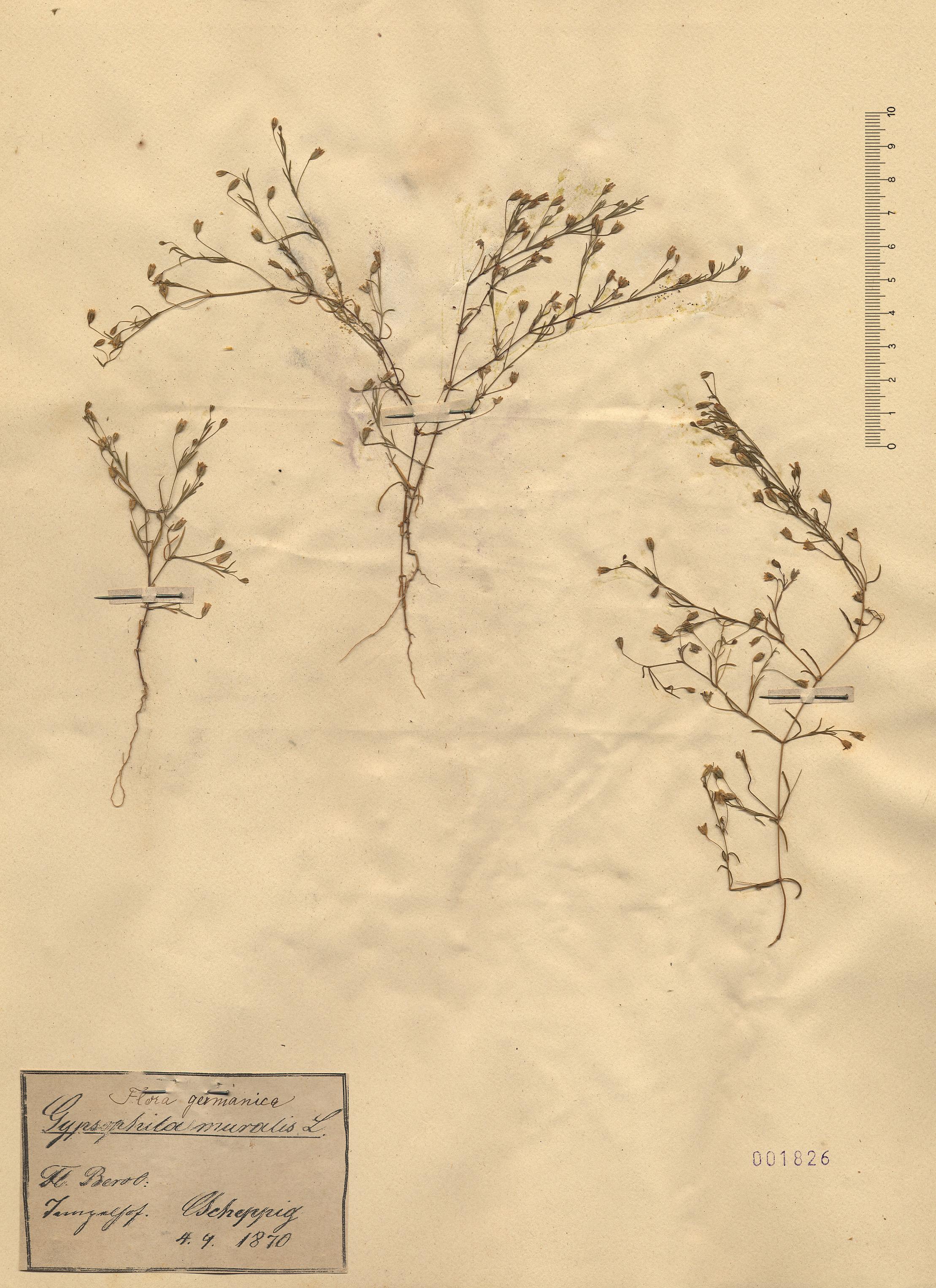 © Hortus Botanicus Catinensis - Herb. sheet 001826<br>
