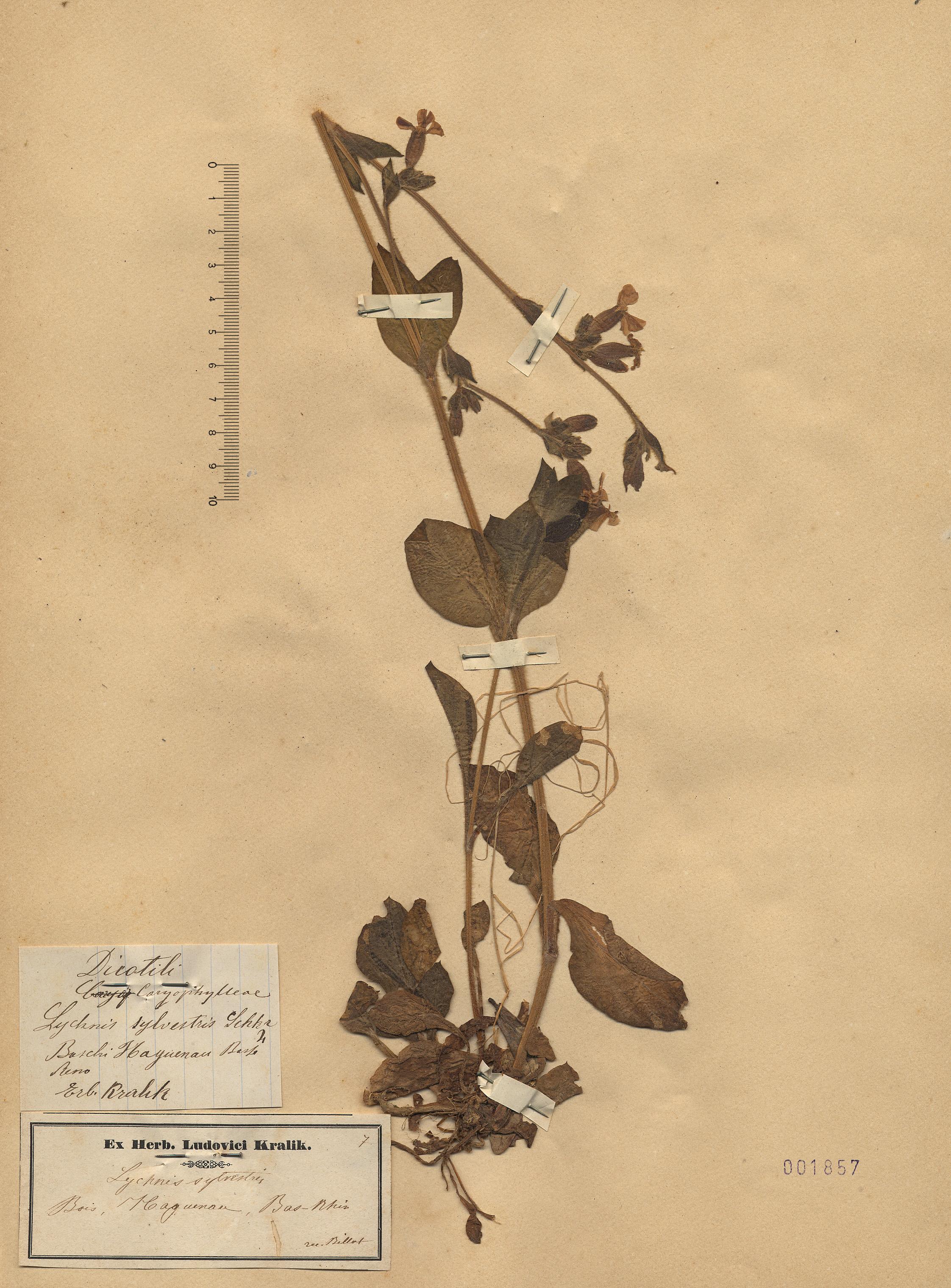 © Hortus Botanicus Catinensis - Herb. sheet 001857<br>
