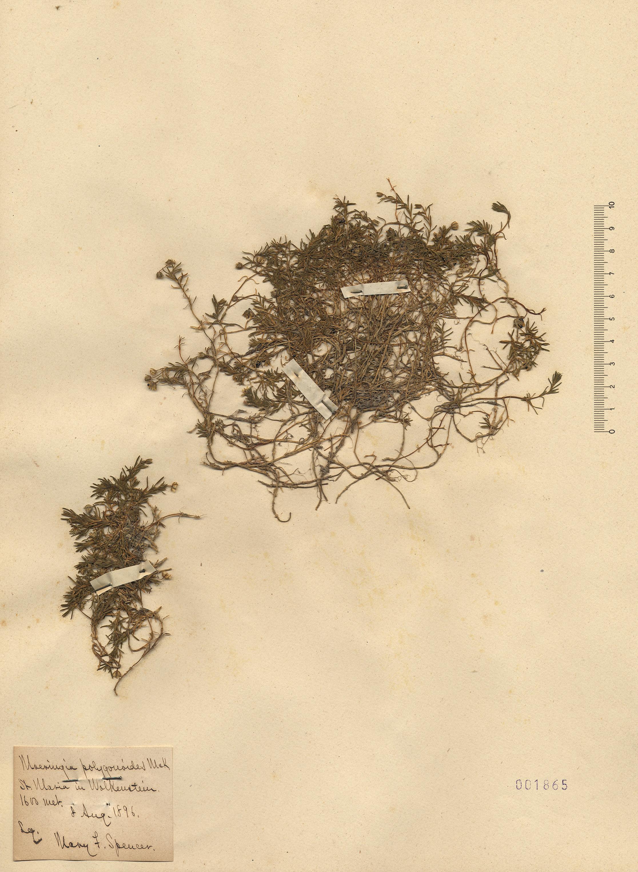 © Hortus Botanicus Catinensis - Herb. sheet 001865<br>