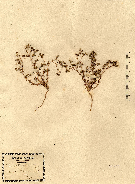 © Hortus Botanicus Catinensis - Herb. sheet 001672<br>